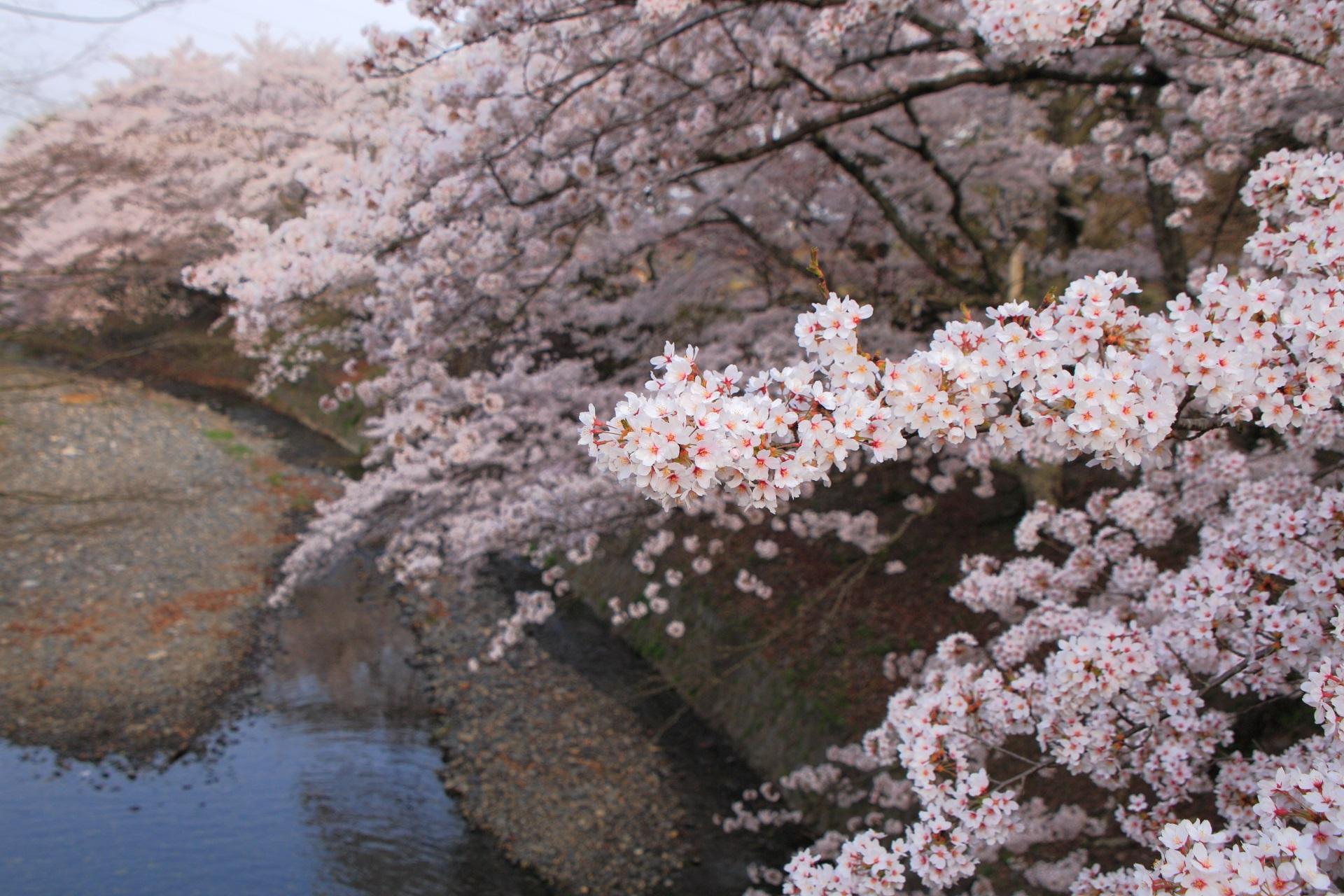 七谷川を優雅に彩る桜