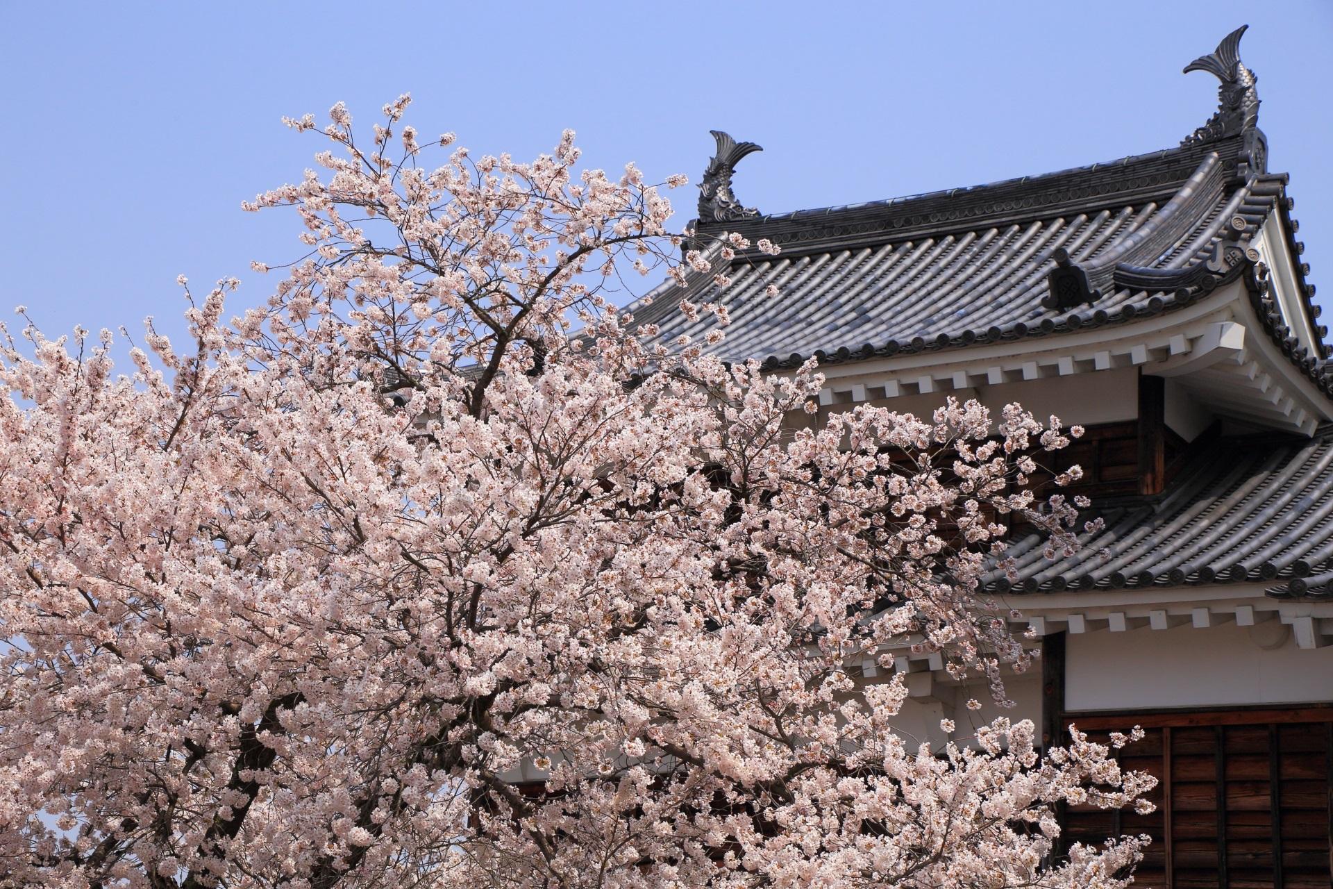 福知山城の天守を染める桜