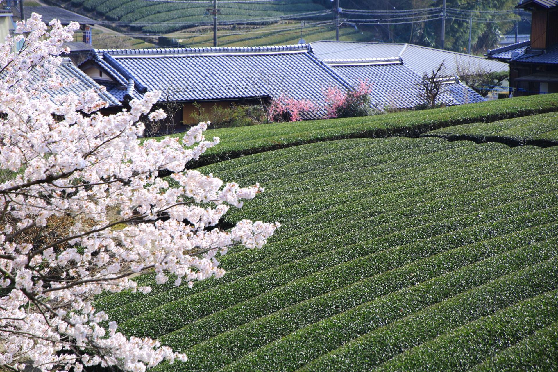 お茶の町である和束町を華やぐ桜と長閑で美しい茶畑
