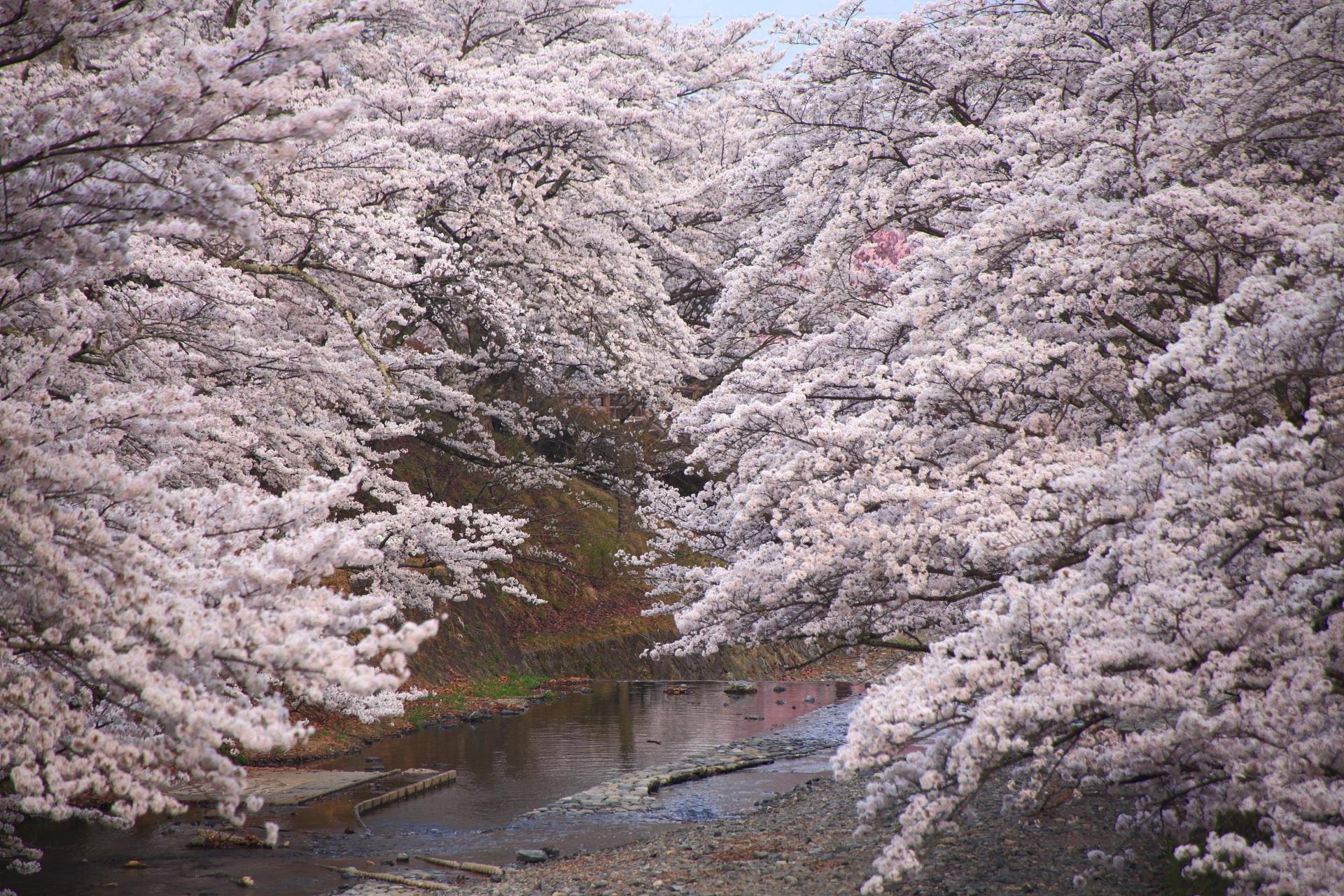 七谷川の爆発する桜