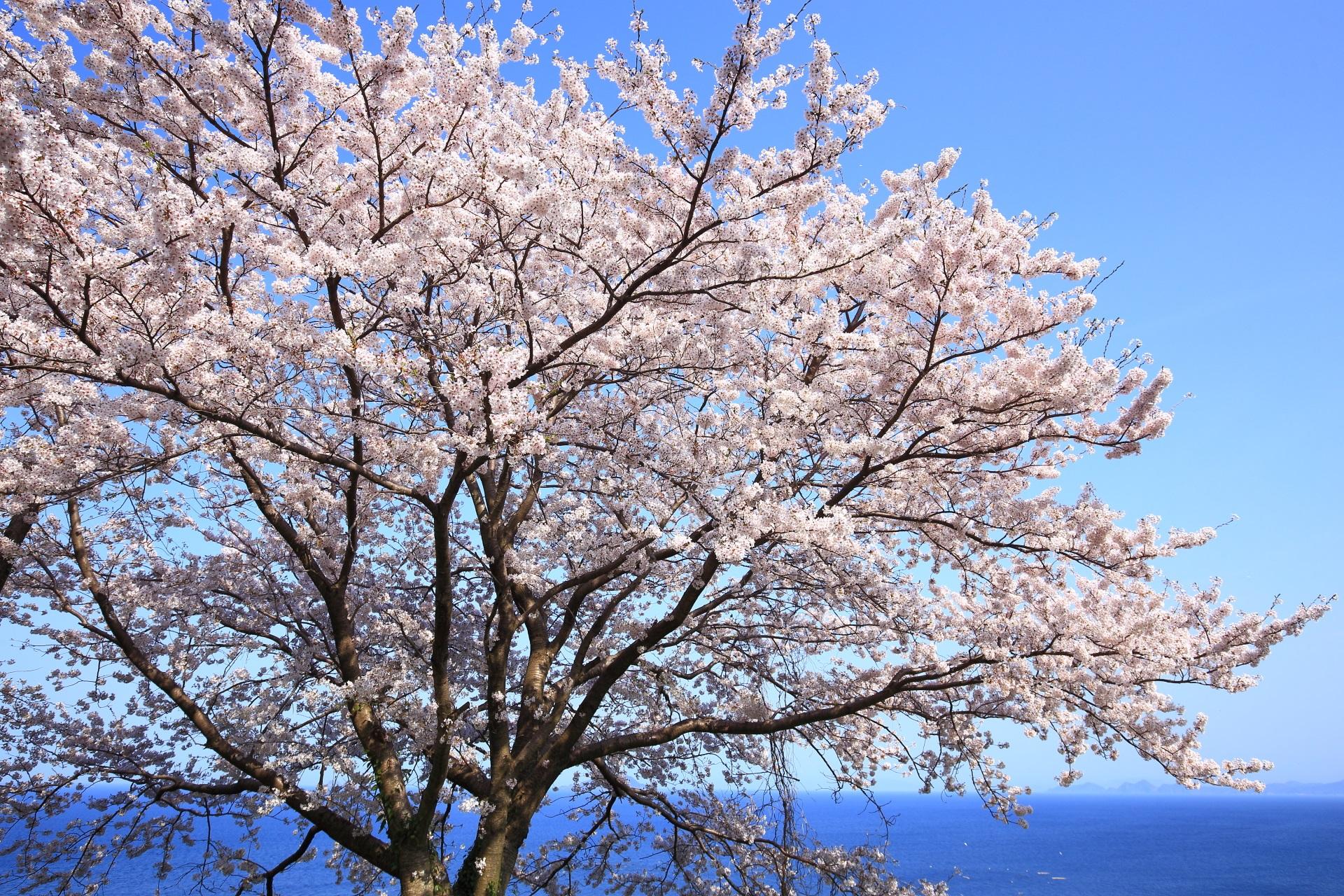 新井崎の青空と青い海の中で咲き乱れる桜