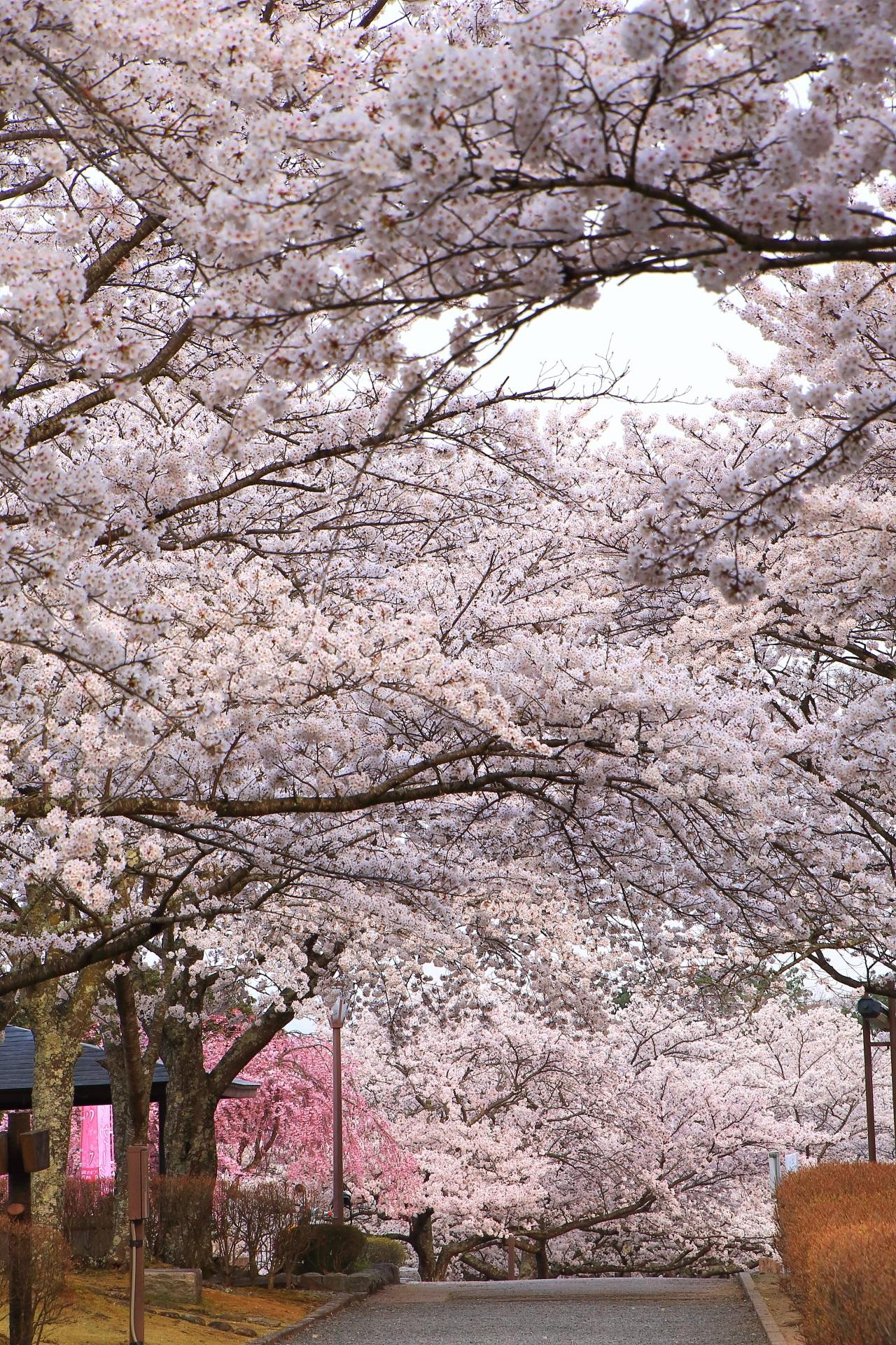 和らぎの道の圧倒的な桜