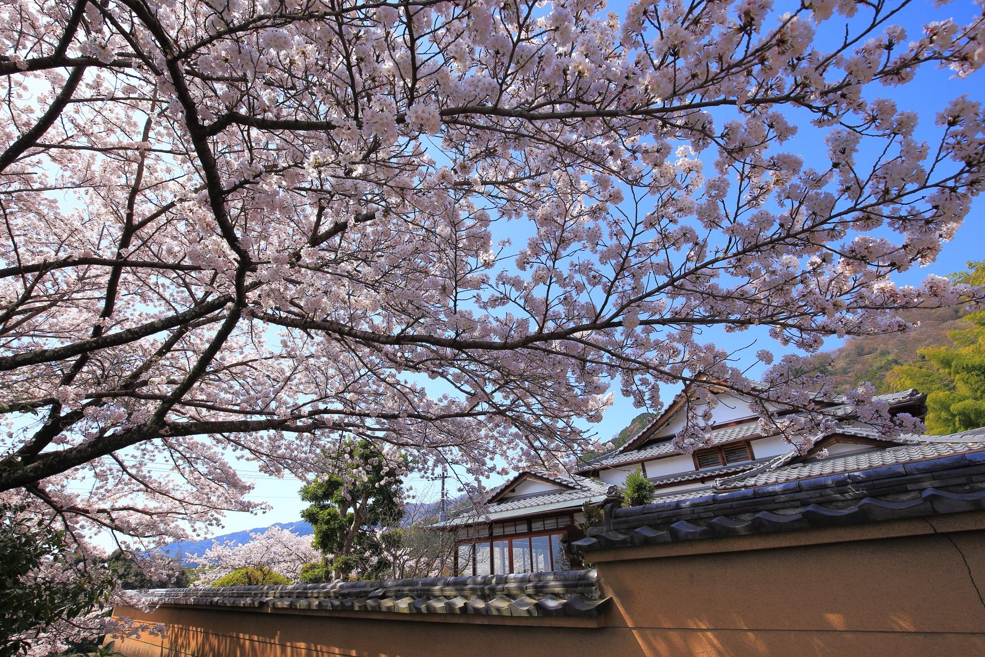 圧巻の桜につつまれる春の願徳寺