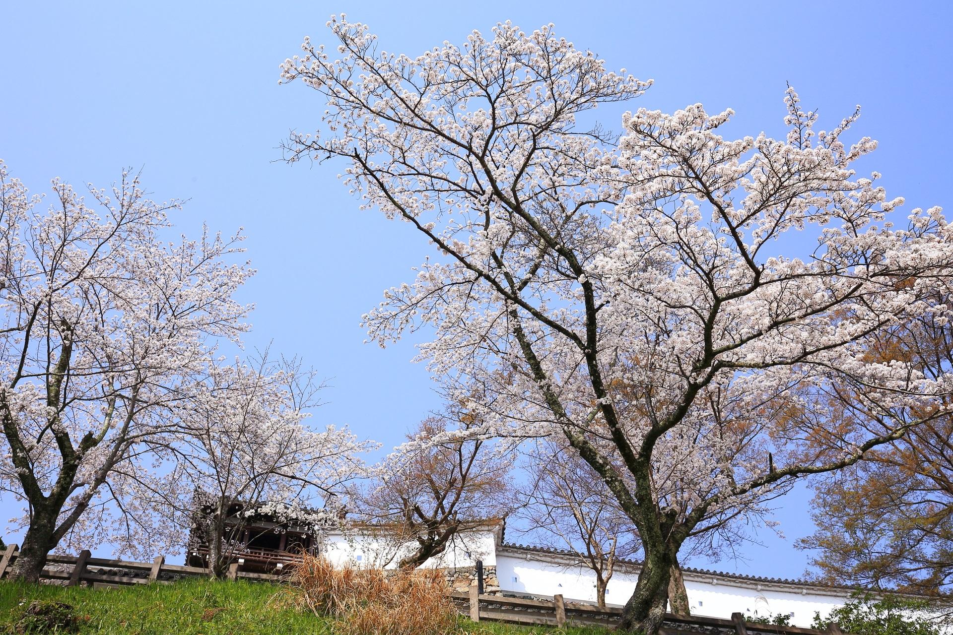 福知山城の釣鐘門と雄大な桜