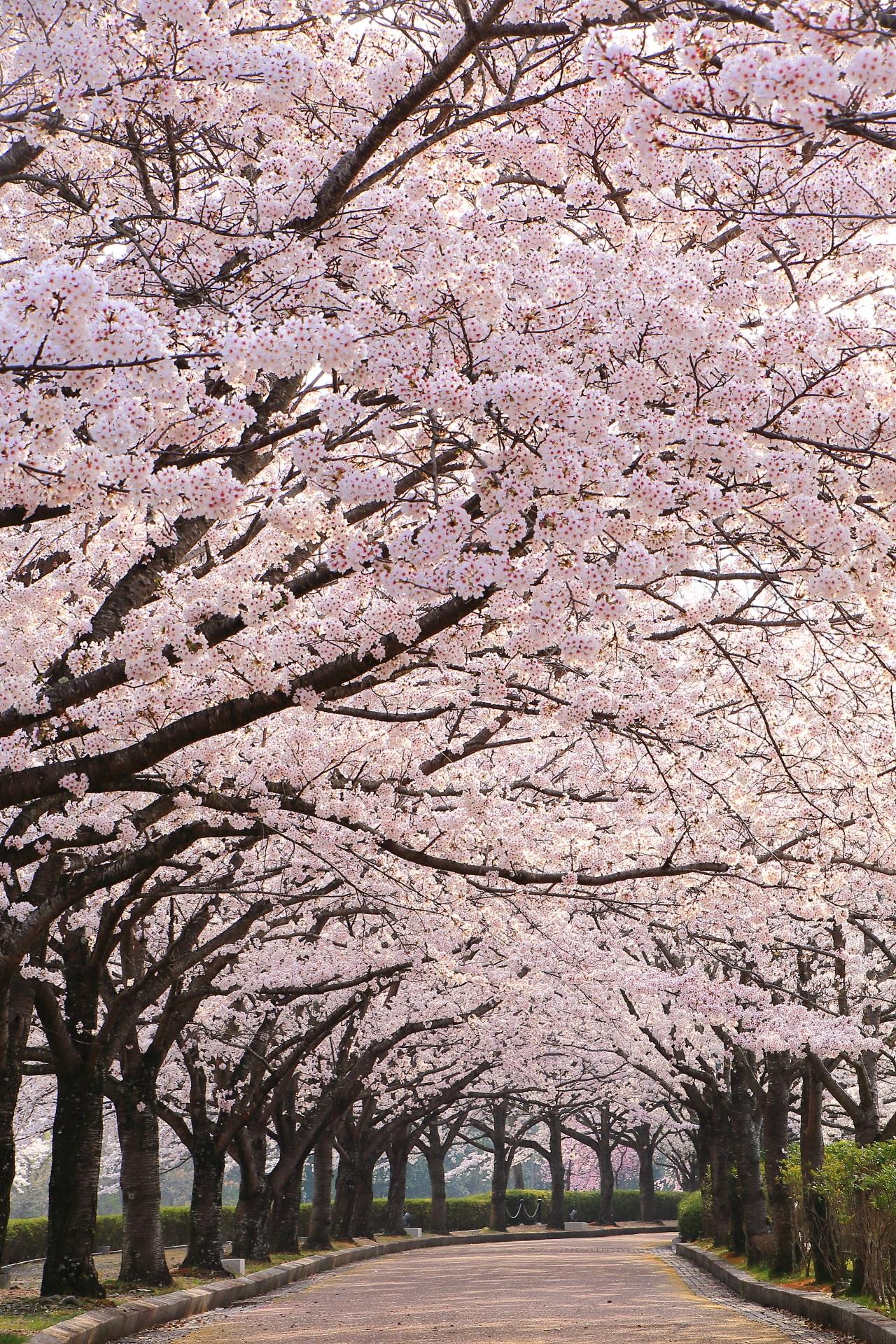 高画質 写真 和らぎの道 桜