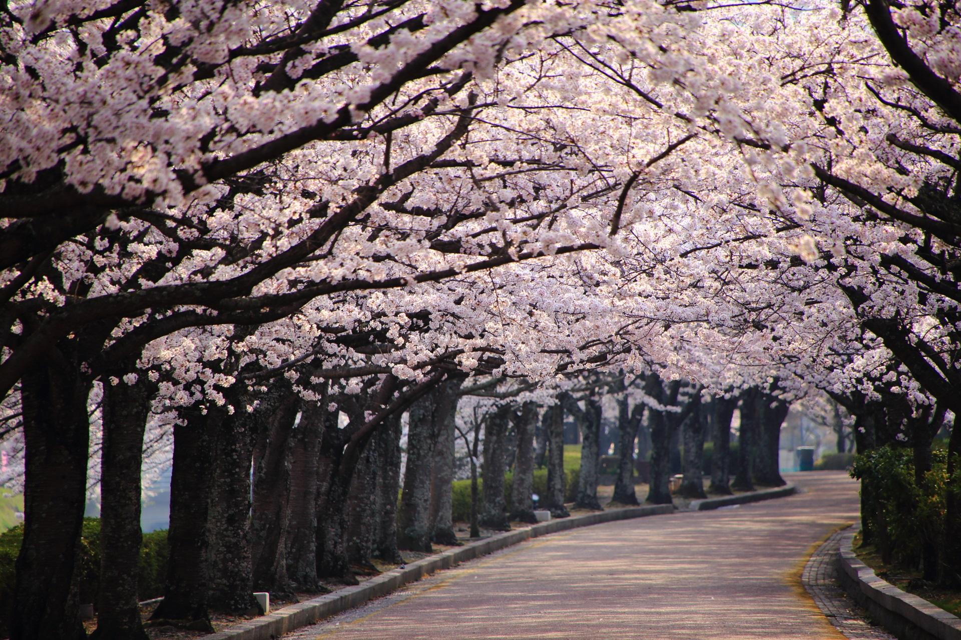 高画質 和らぎの道 桜 画像