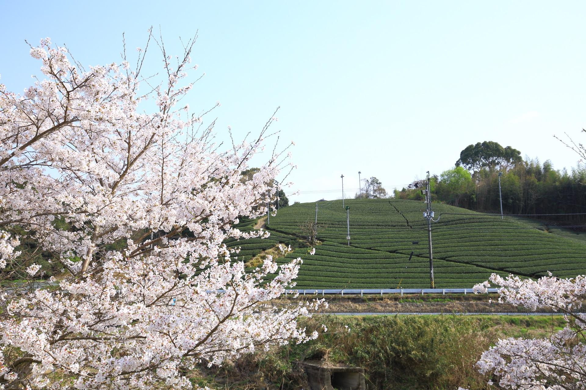 和束町の春色の見事な桜と広がる茶畑