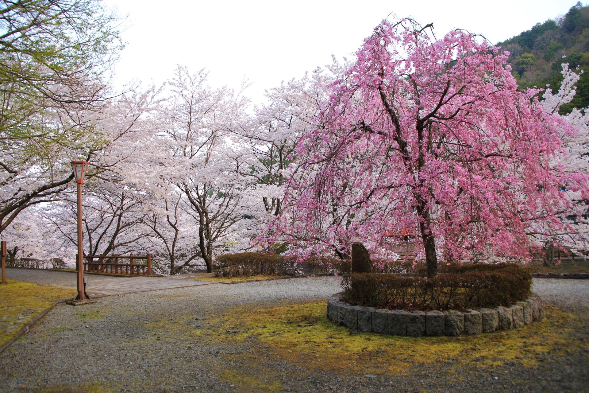 七谷川沿いの桜