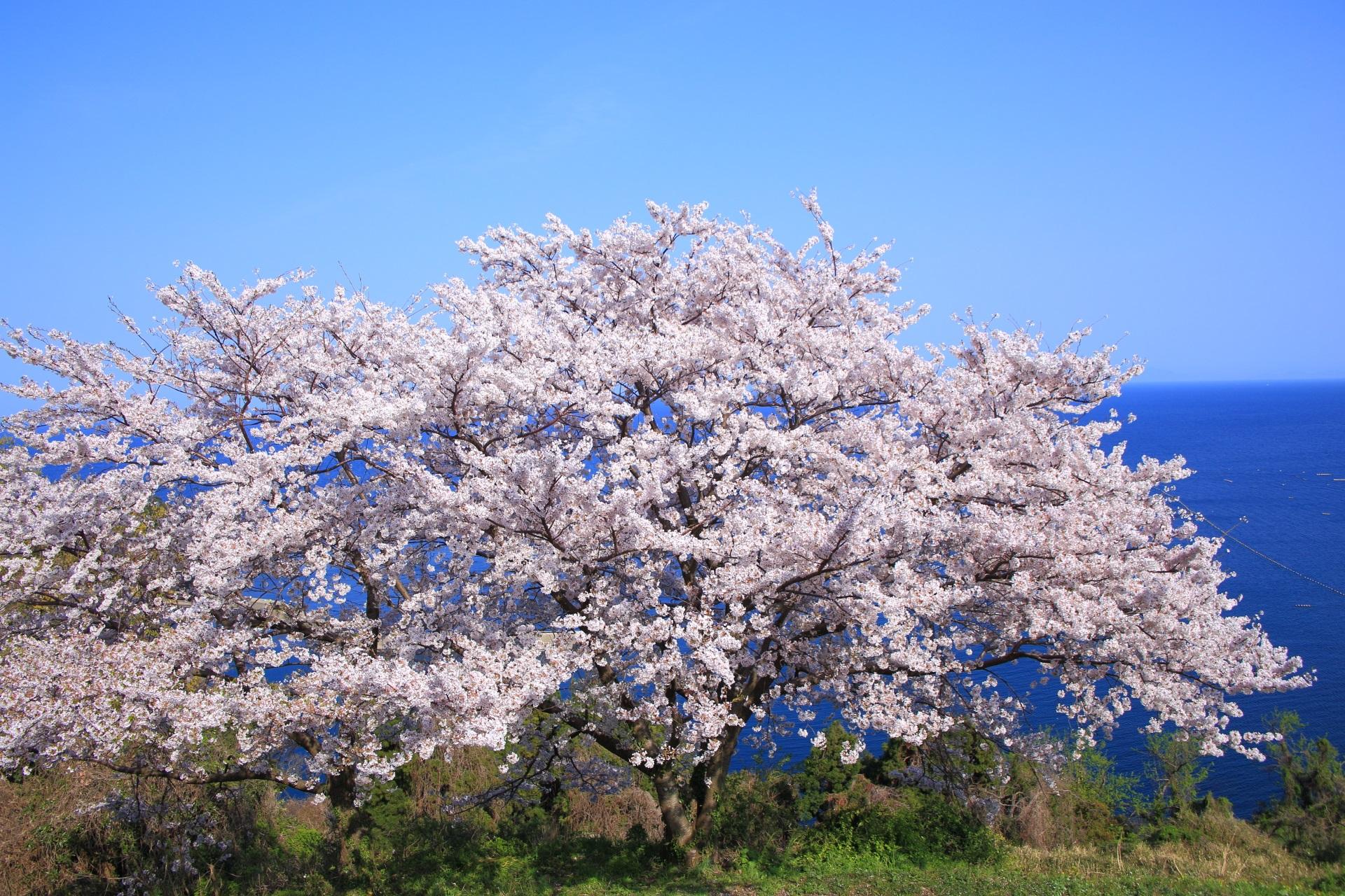 のろせ海岸の絶品の海の桜