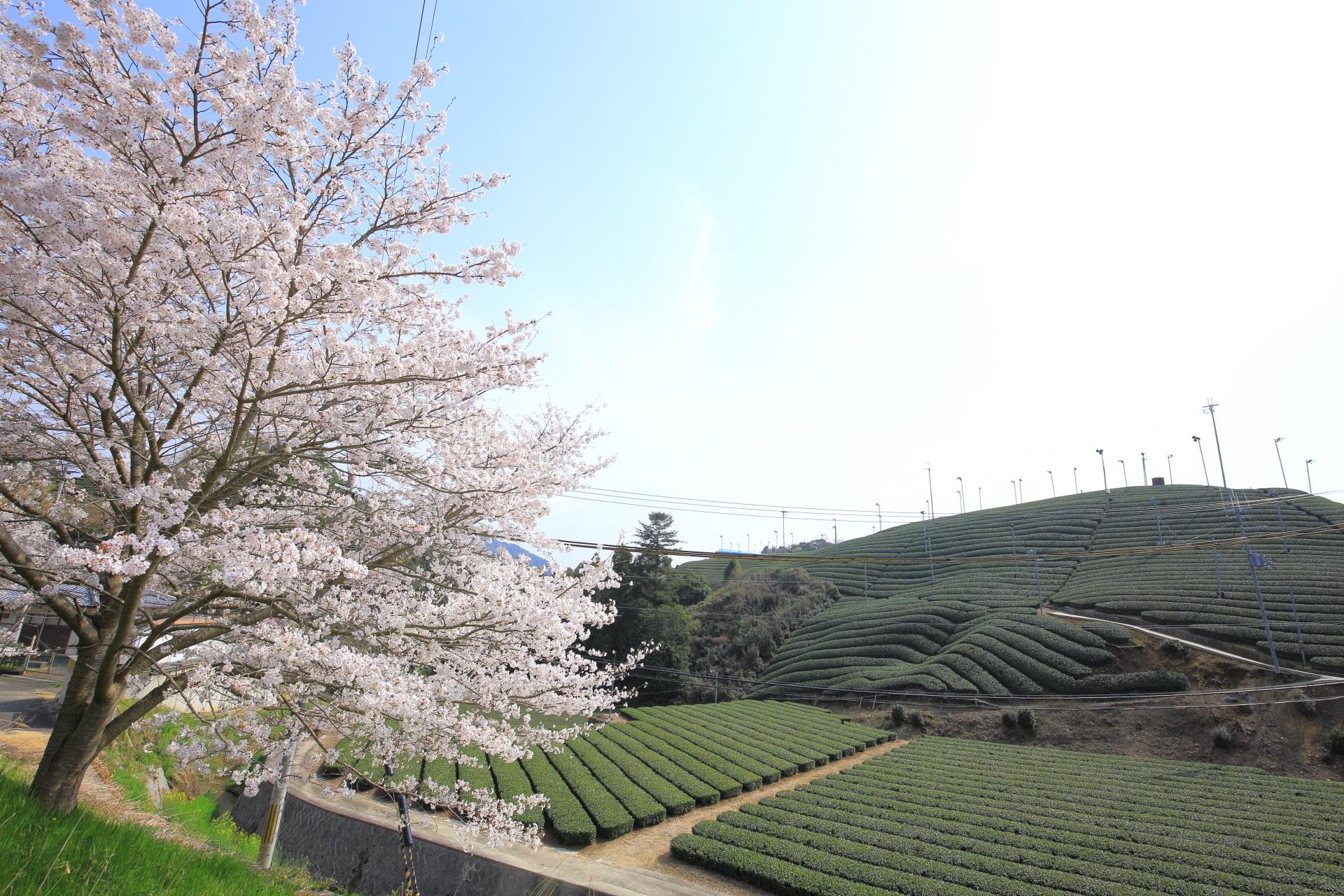 和束町の白栖から石寺の間の桜