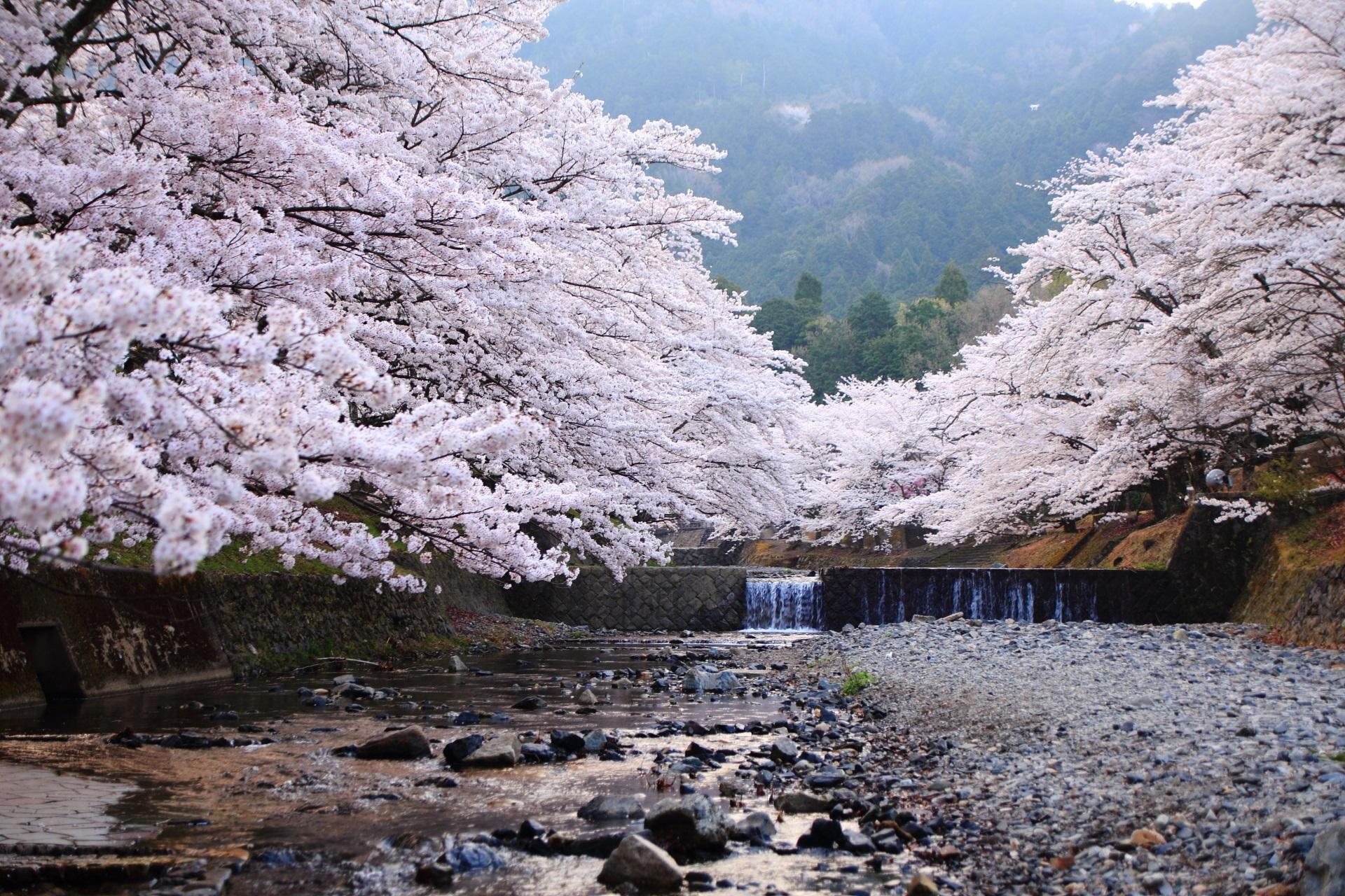 七谷川の弾けんばかりに咲き乱れる桜