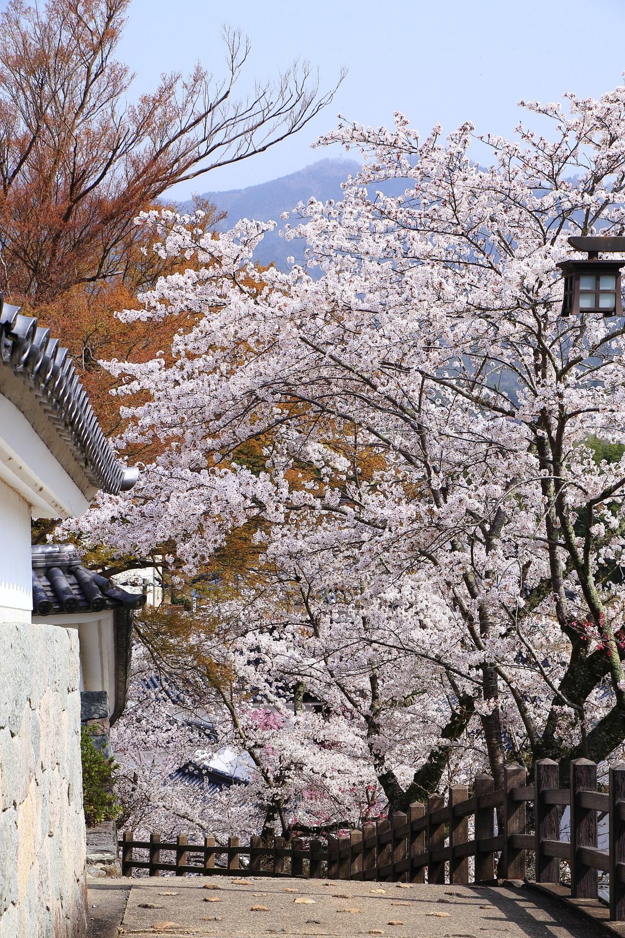 福知山城の素晴らしい桜の情景や春の彩り