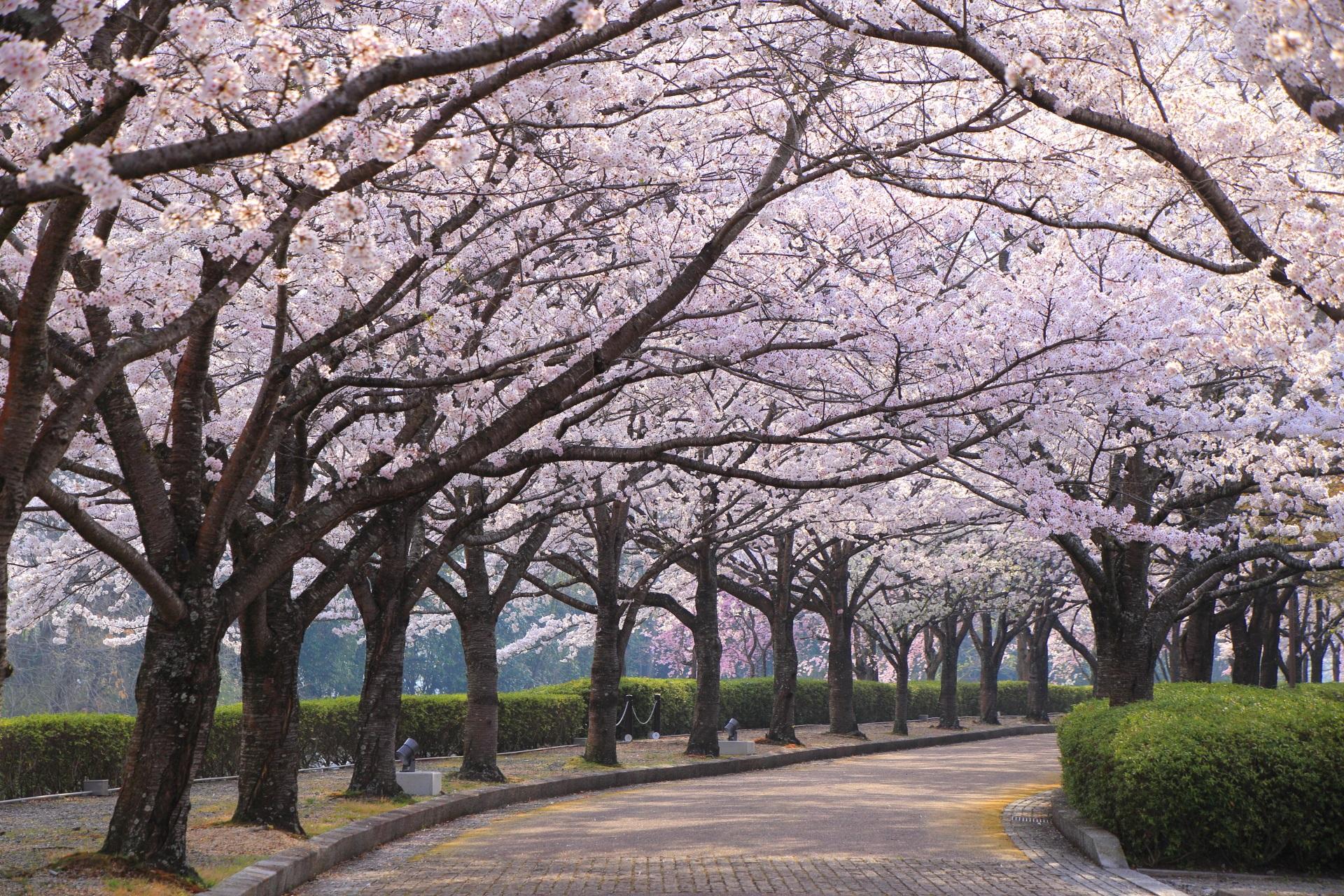 和らぎの道の絶品の桜のトンネル