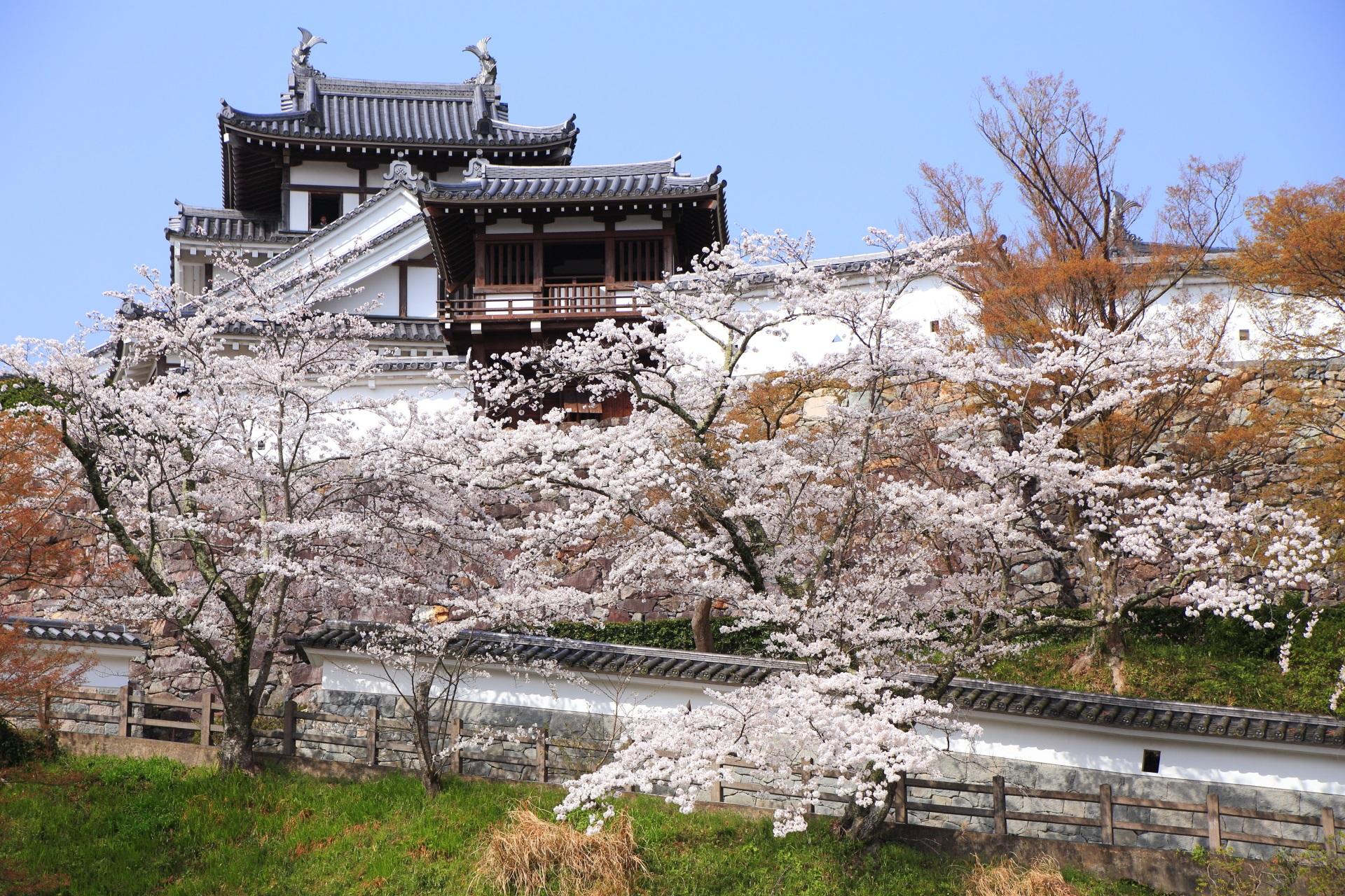 福知山城の白壁の城壁や釣鐘門を彩る桜