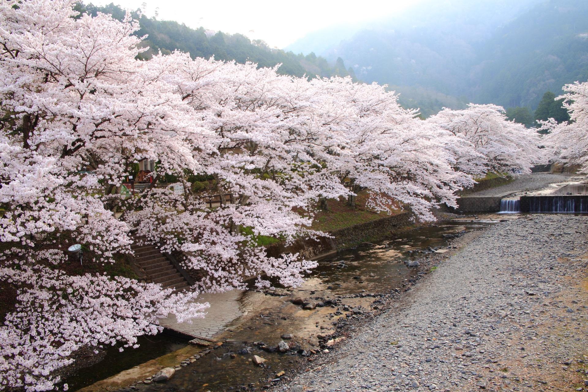 七谷川は京都亀岡の桜の名所