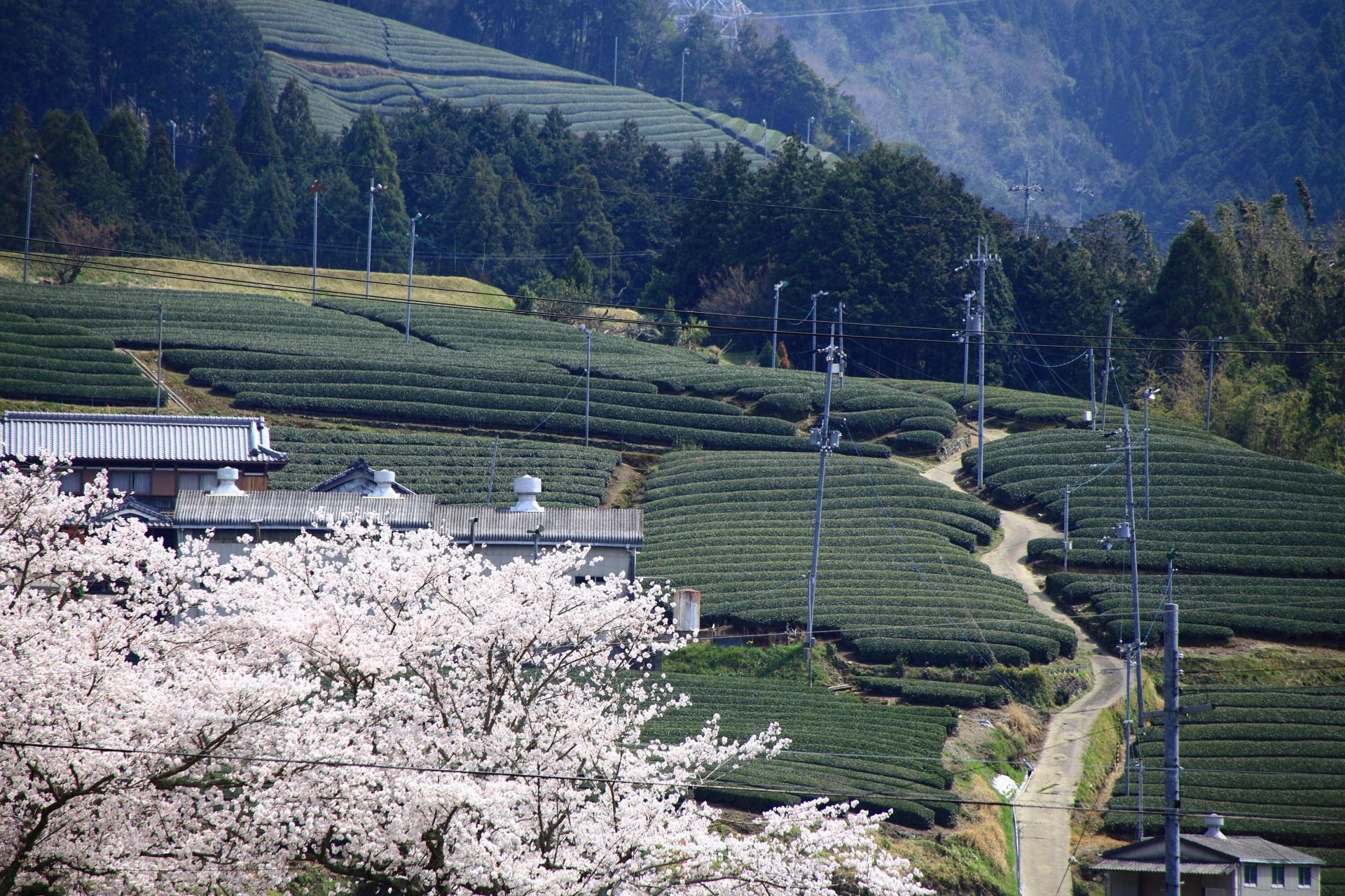 和束町の華やかな桜の向こうに広がる茶畑