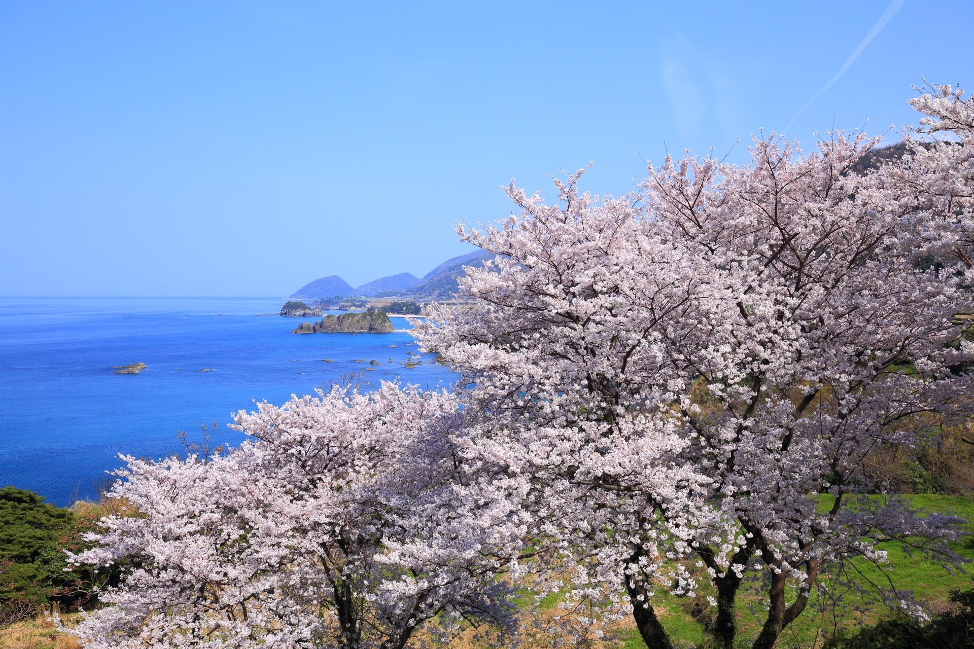 丹後松島の青空に映える華やかな桜