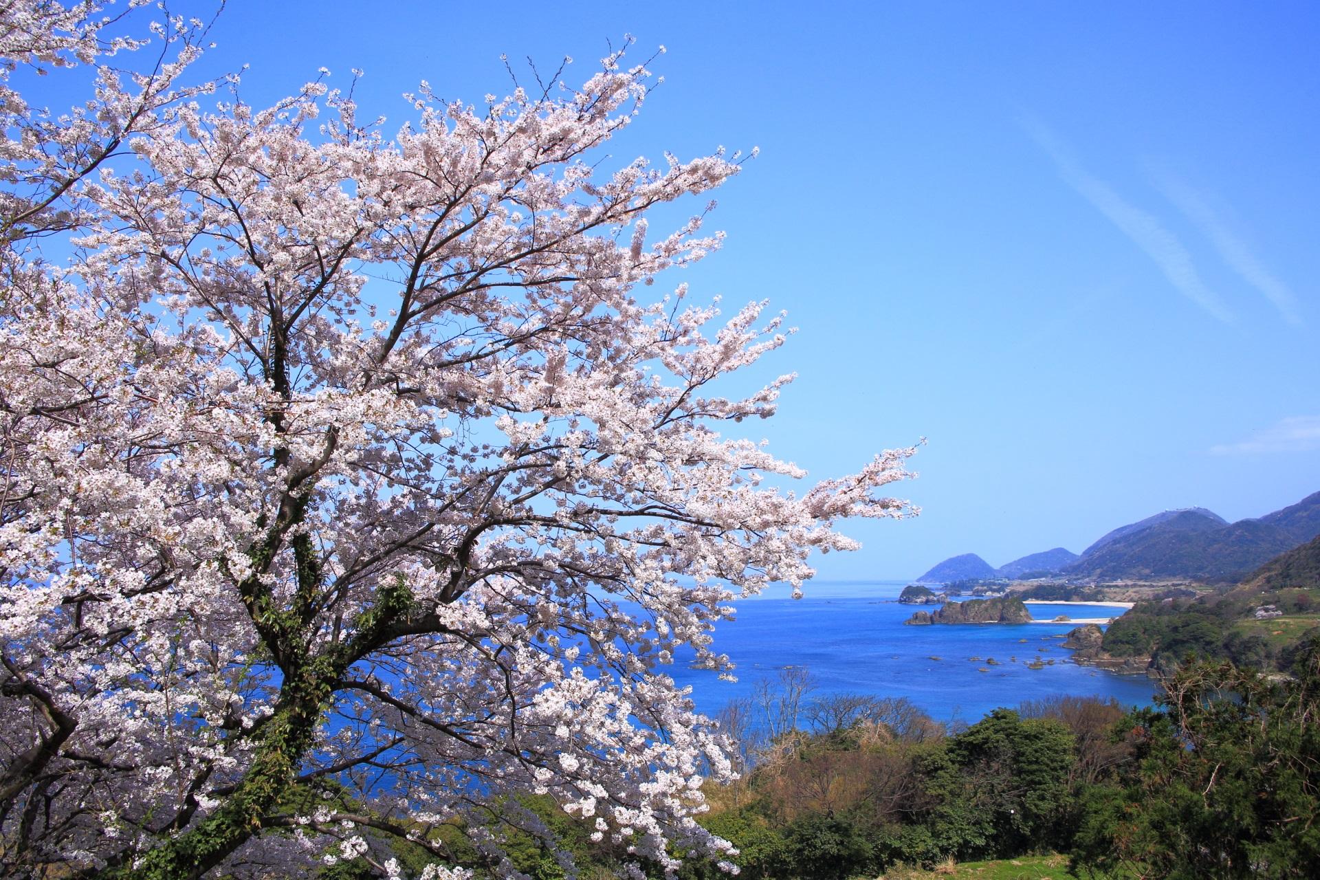 丹後松島の青空と海を染める煌く桜