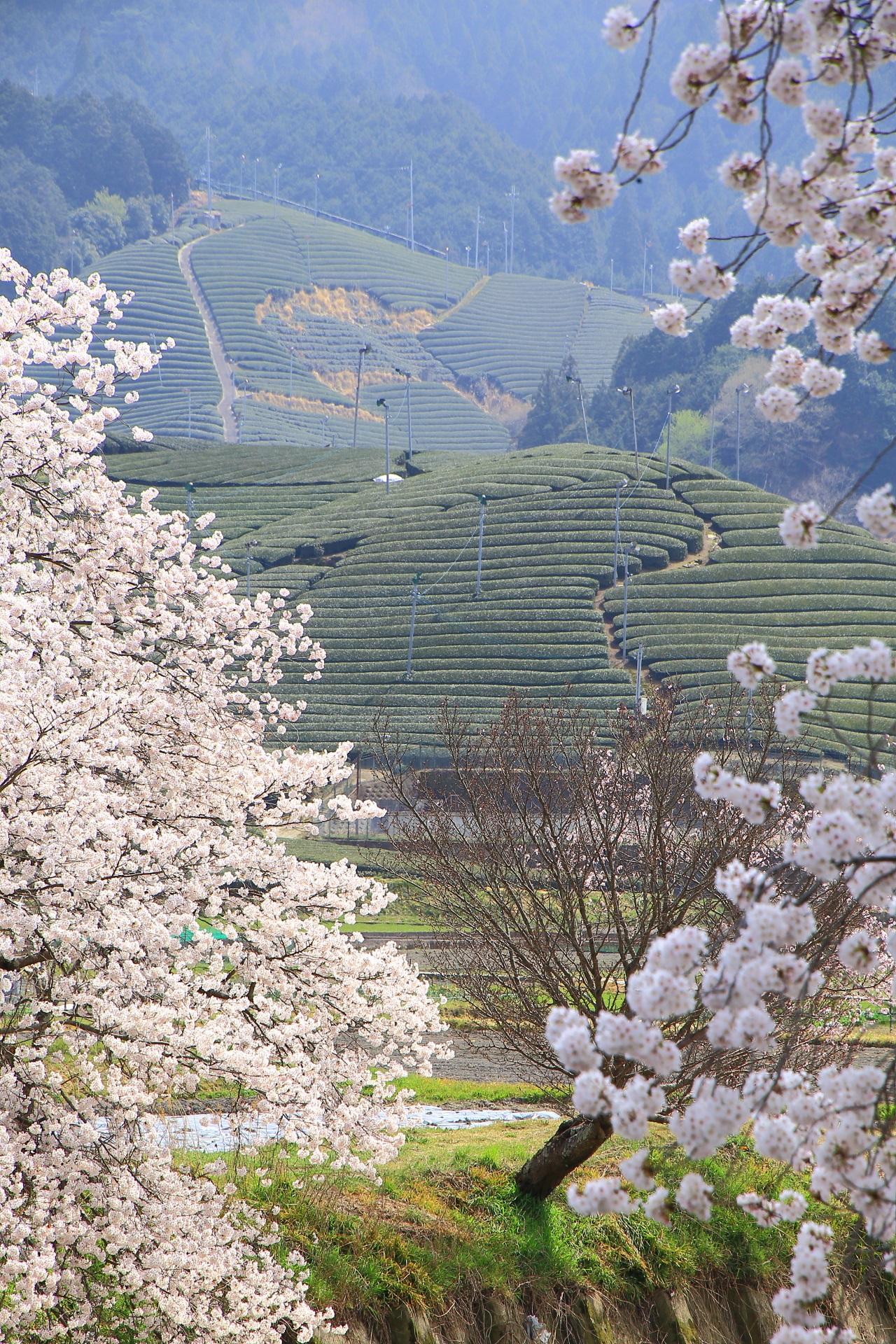 和束町の素晴らしい桜と茶畑や春の情景