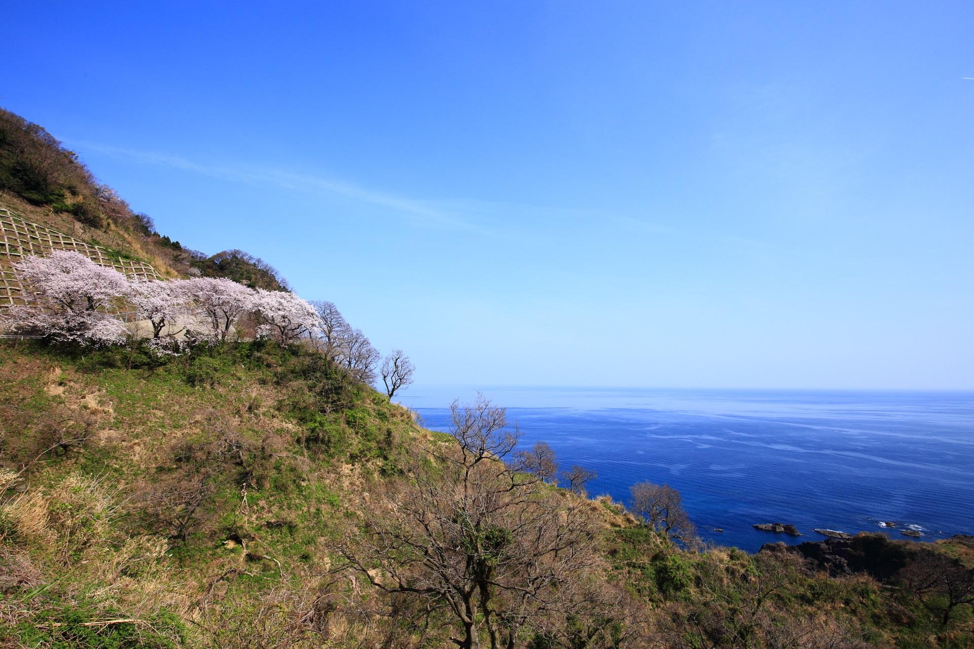 崖の上に立ち並ぶカマヤ海岸の桜並木