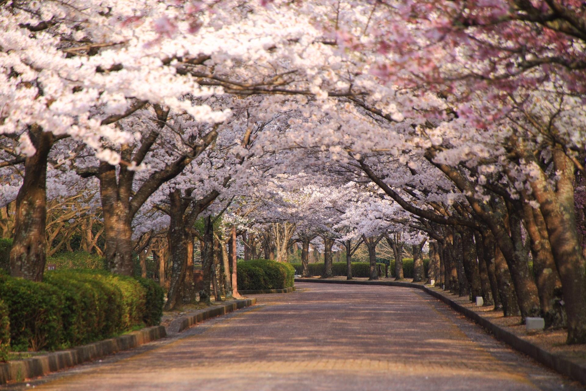 ところどころ緩いカーブを描く桜並木の和らぎの道
