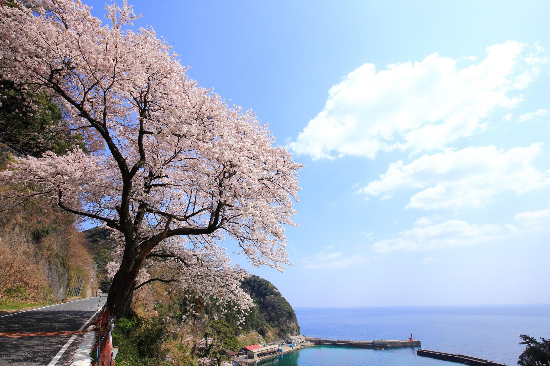 蒲入の海を彩る煌く桜