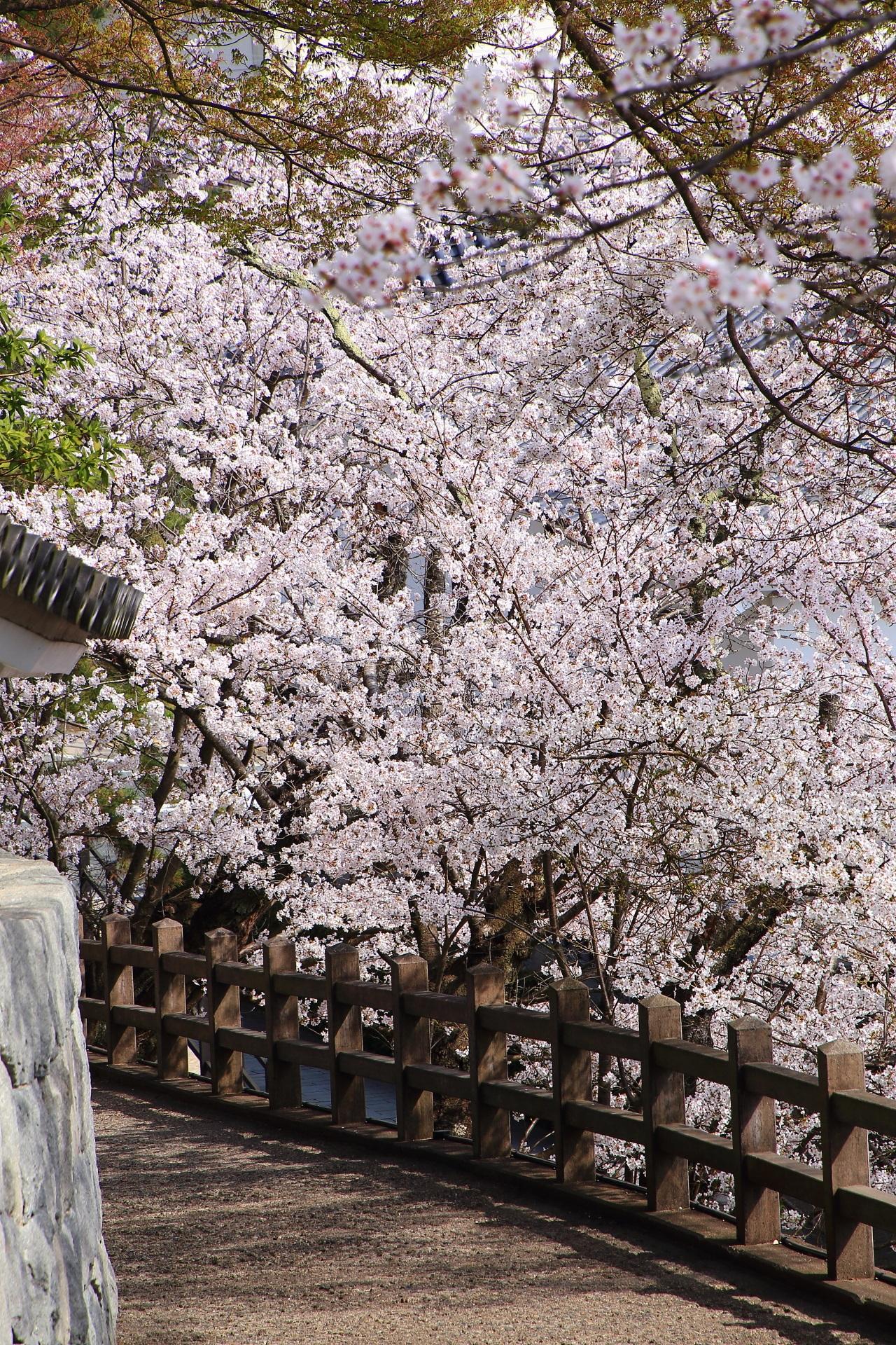 煌びやかな桜に染まる福知山城の緩い坂道の登城道