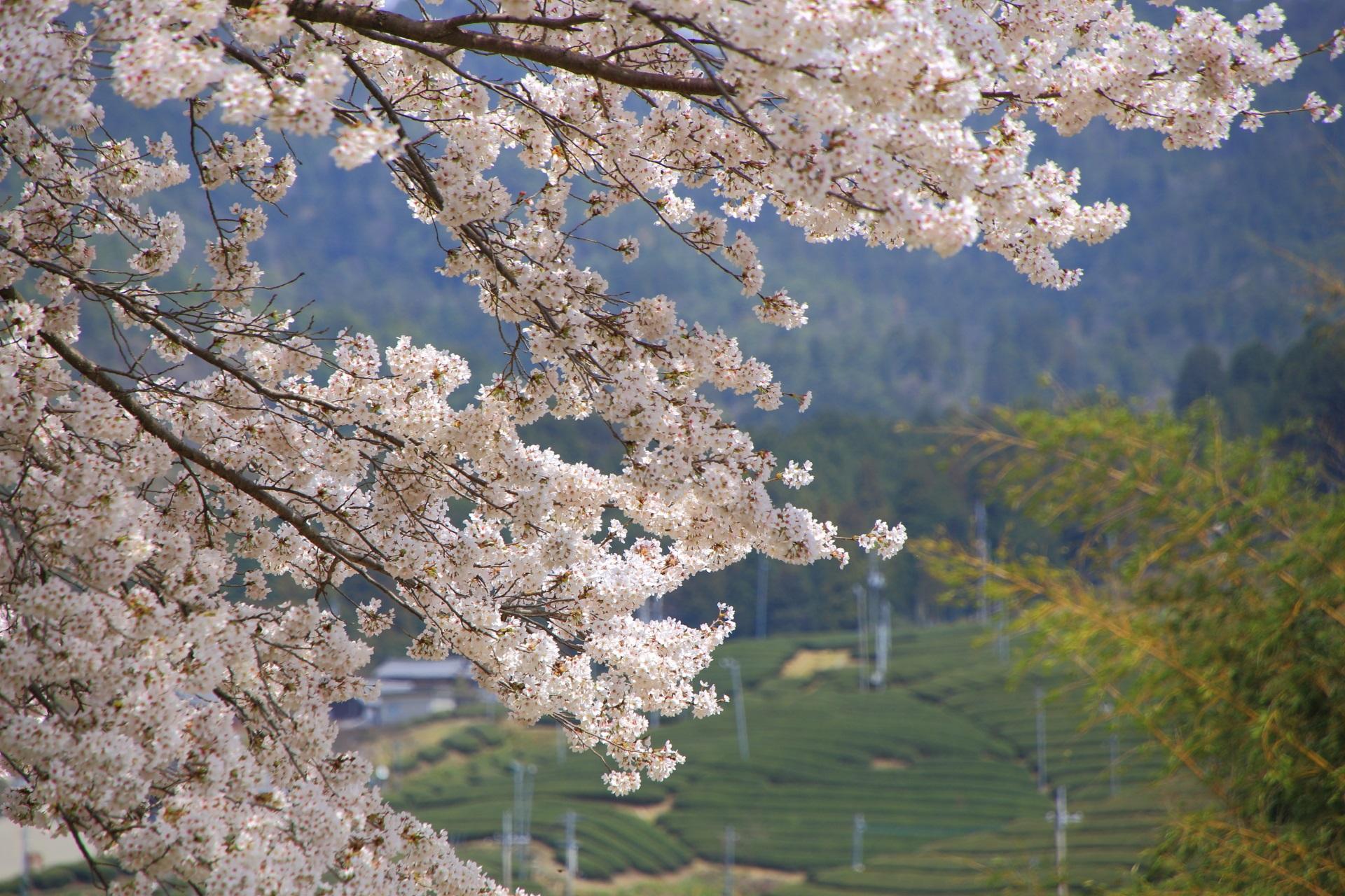 和束町の茶畑を背に咲き誇る桜