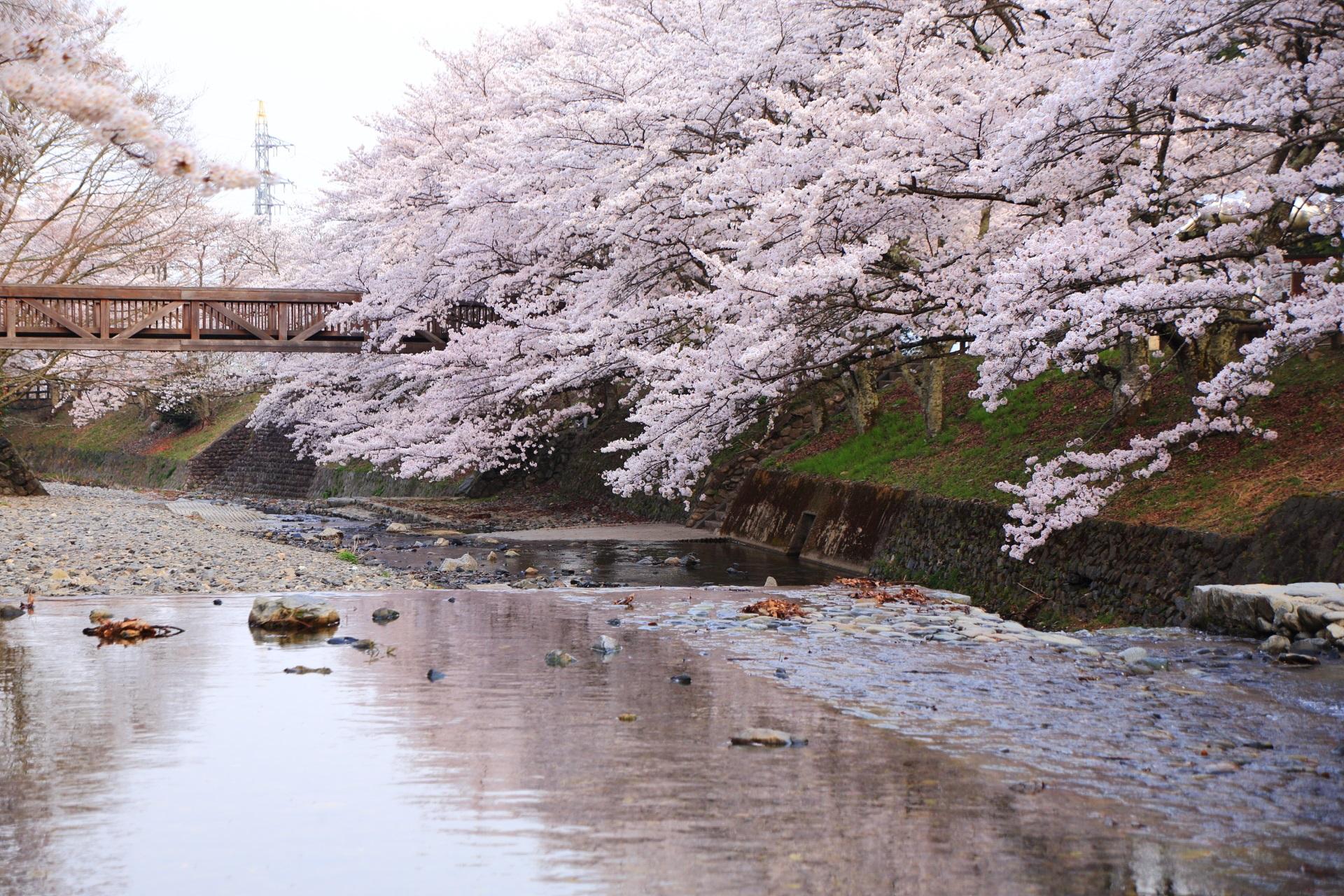 七谷川の素晴らしい水辺の桜や水鏡と春色の情景