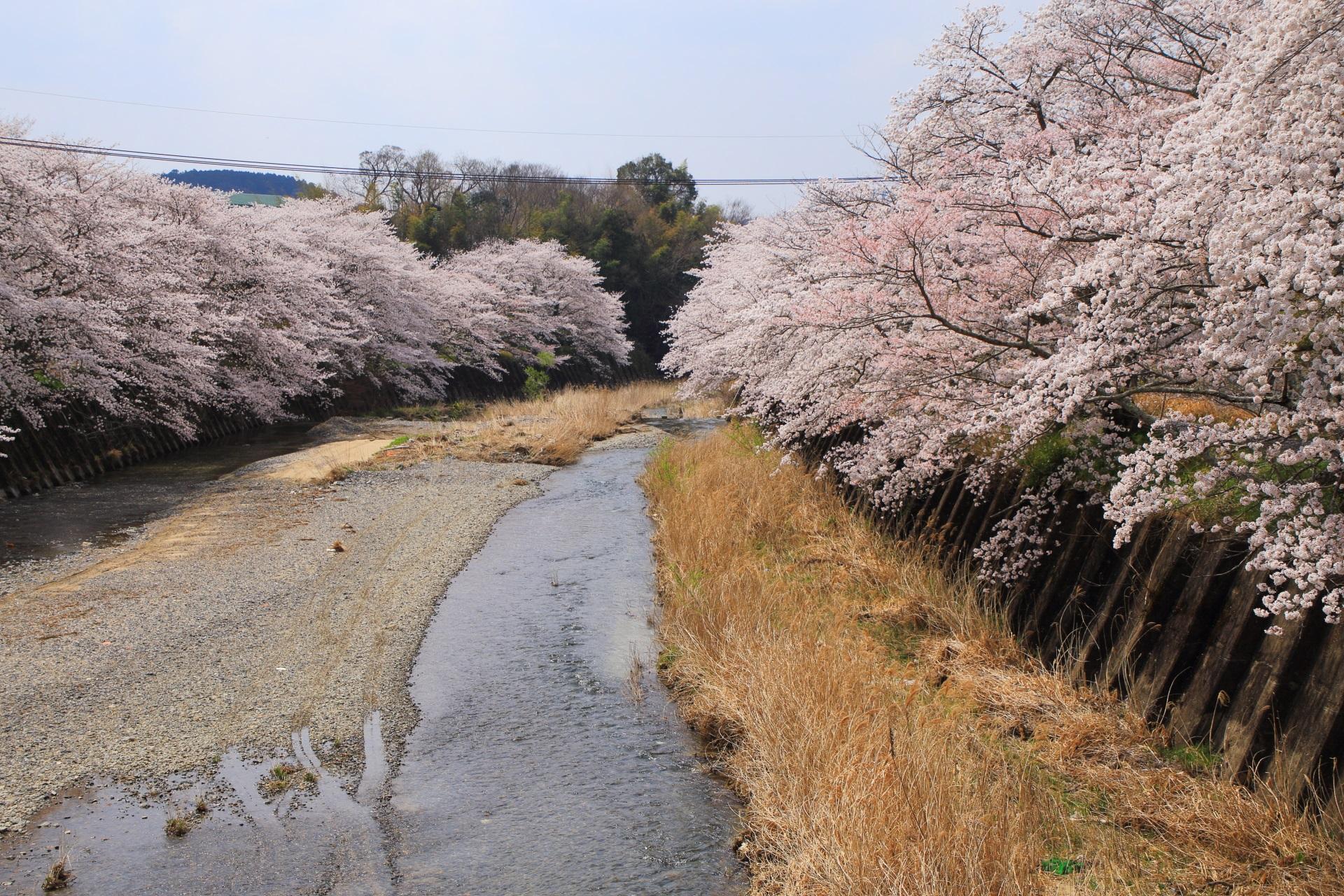 和束町のこぼれ落ちんばかりに咲き誇る桜