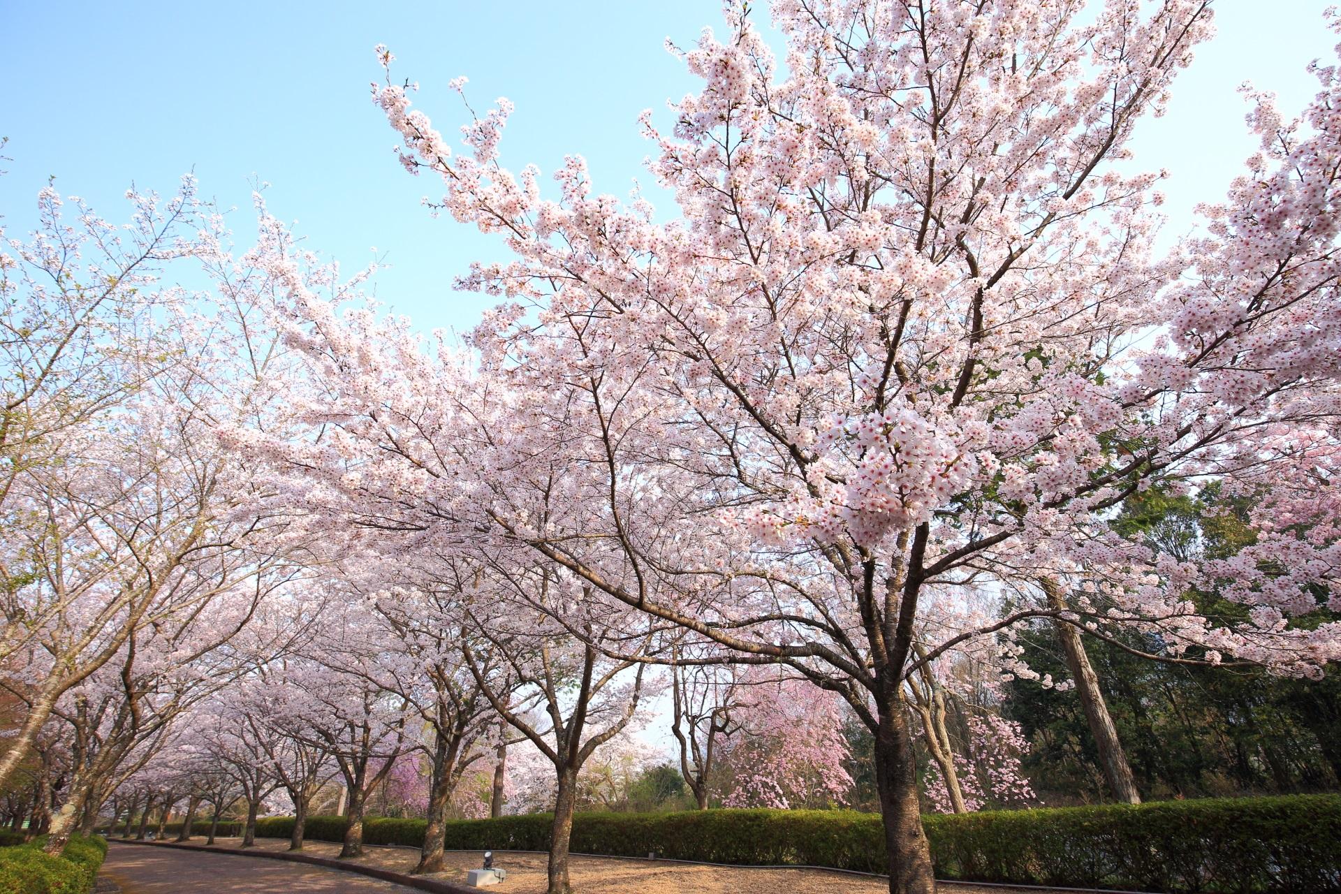 青空の下で枝を大きく伸ばして咲き誇る和らぎの道の桜