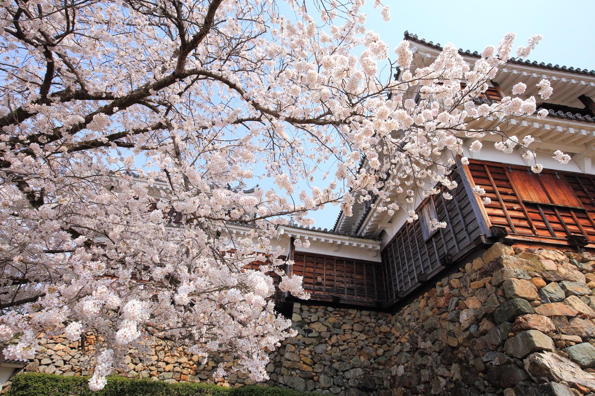 福知山城の天守閣を彩る圧倒的な桜