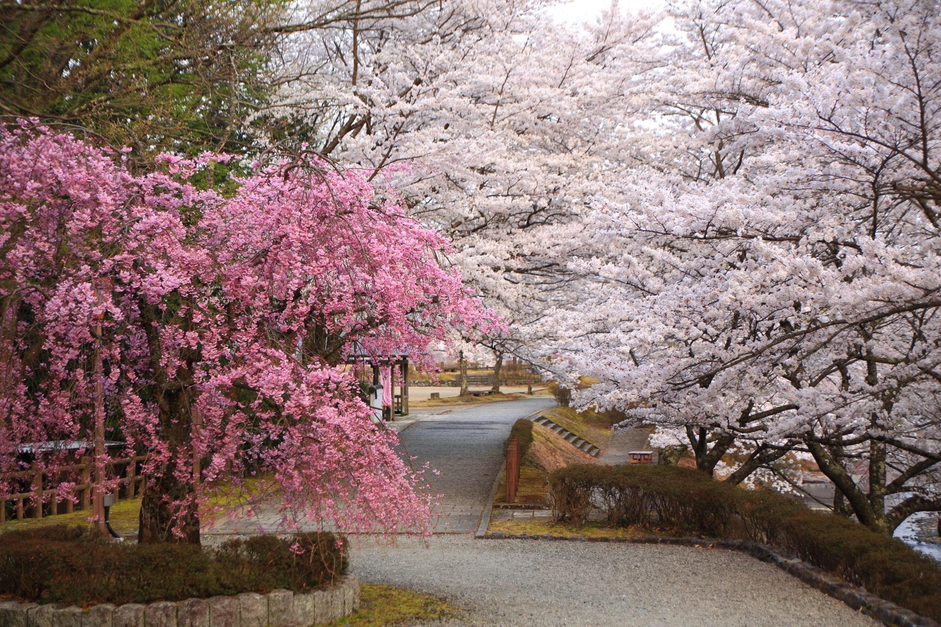 七谷川の圧巻の桜