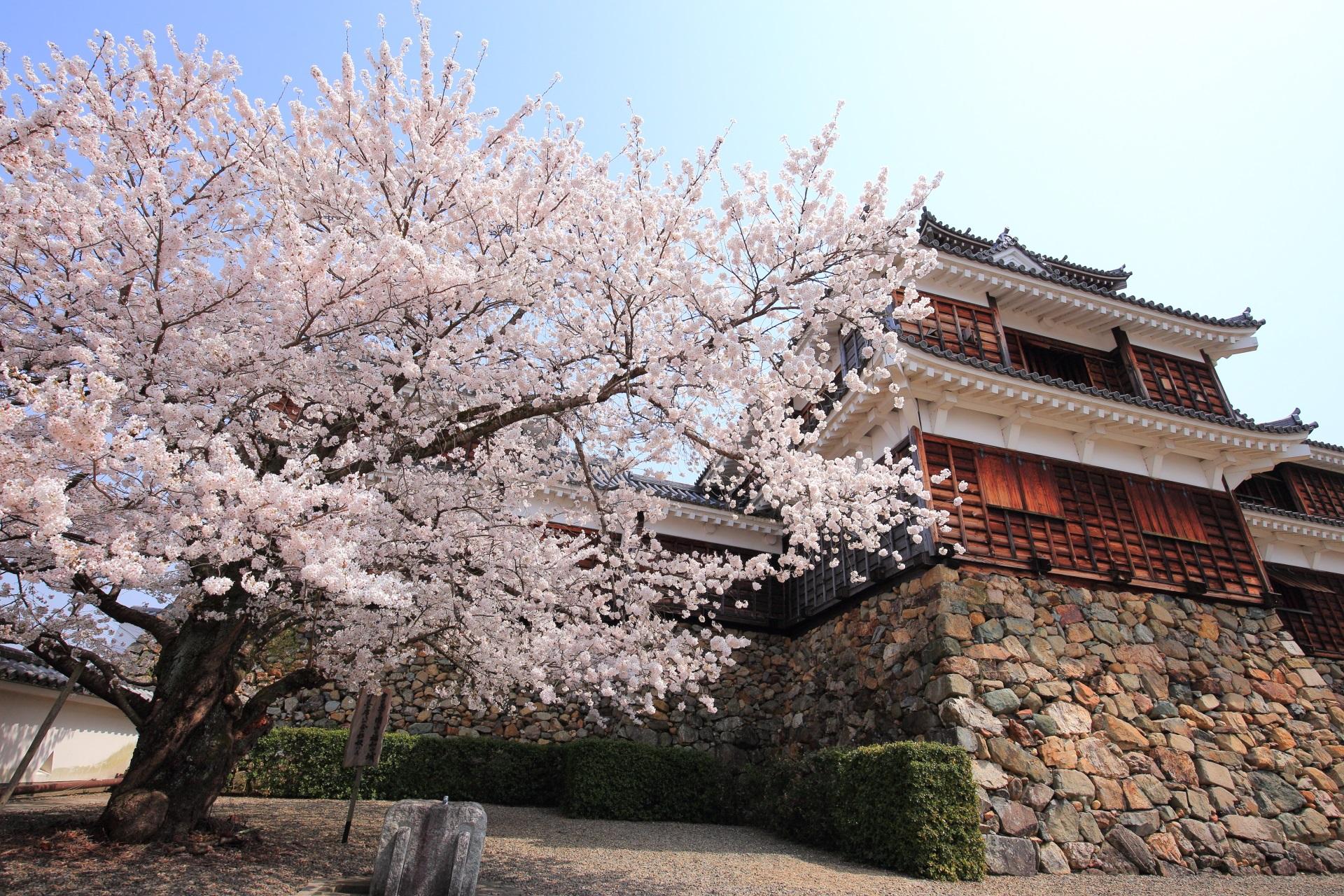福知山城の天守閣の桜