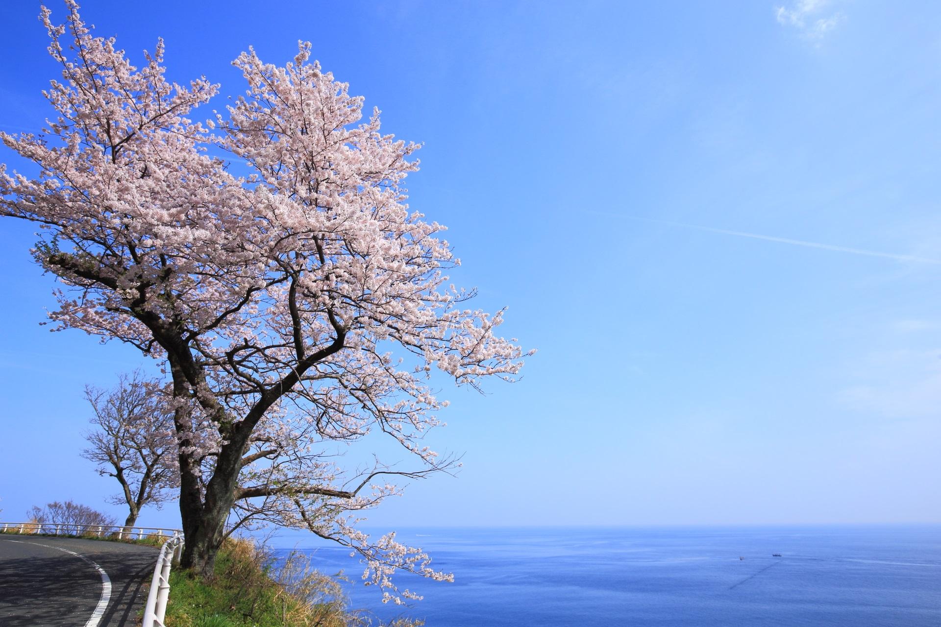 カマヤ海岸 桜