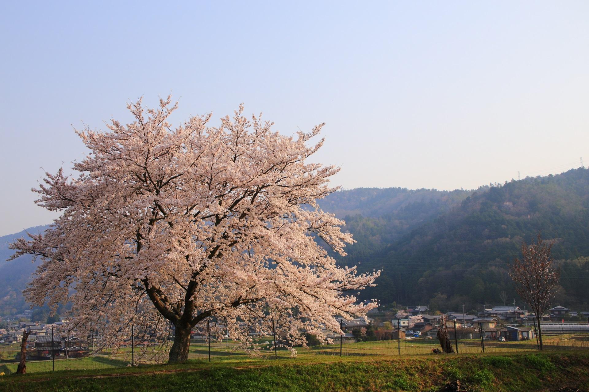 亀岡の一本桜