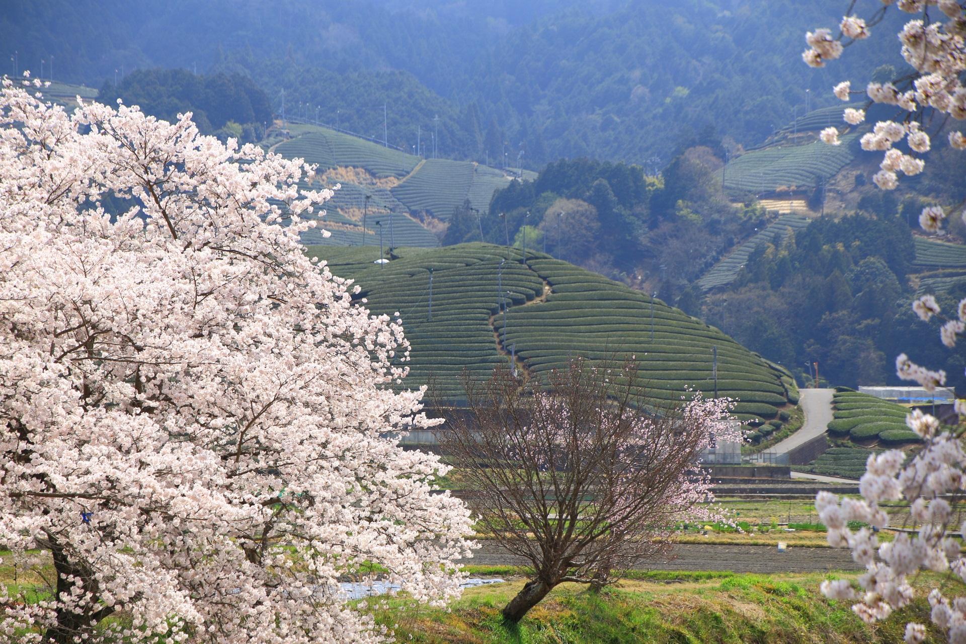 祝橋の圧巻の桜と長閑なお茶畑