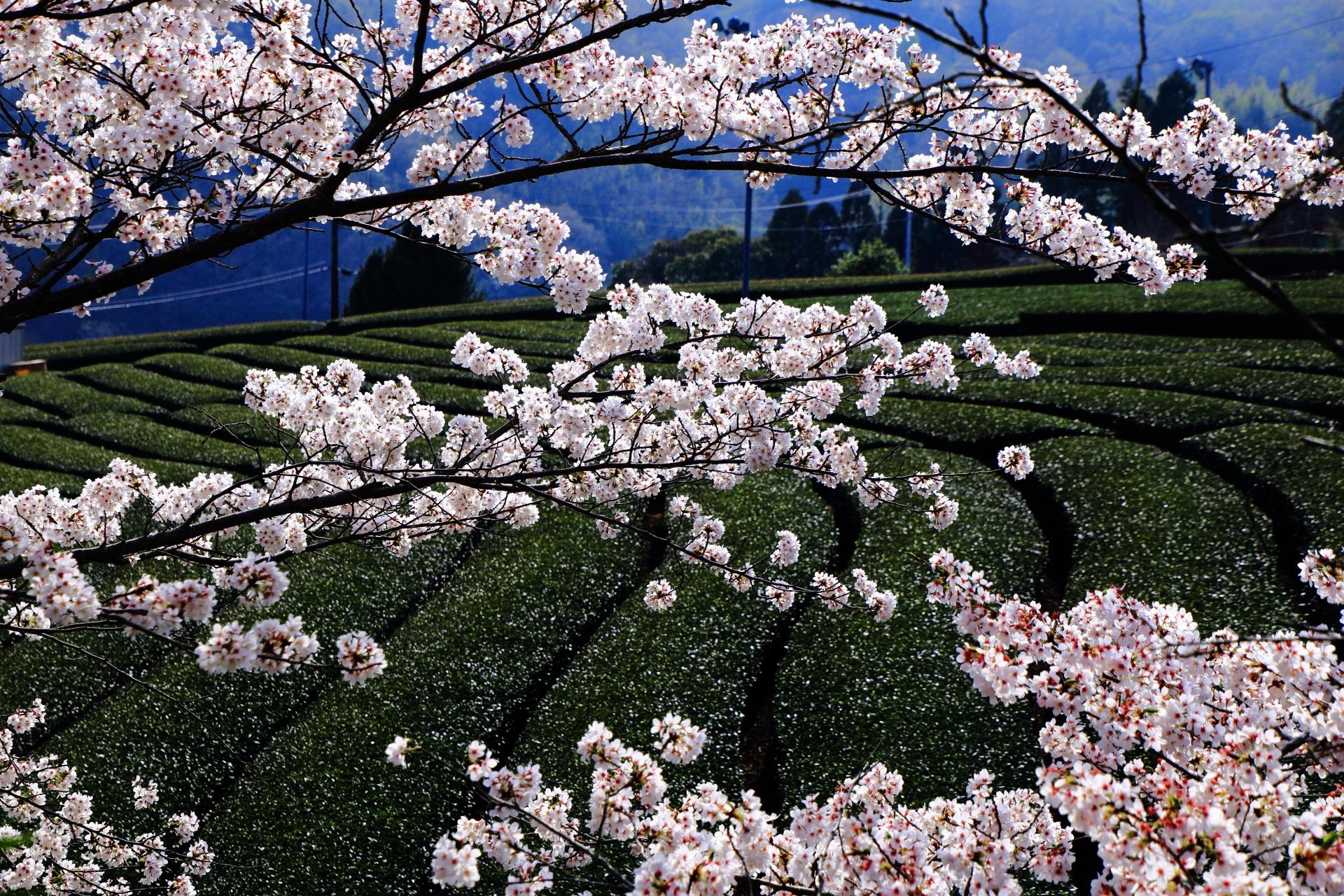 和束町 桜
