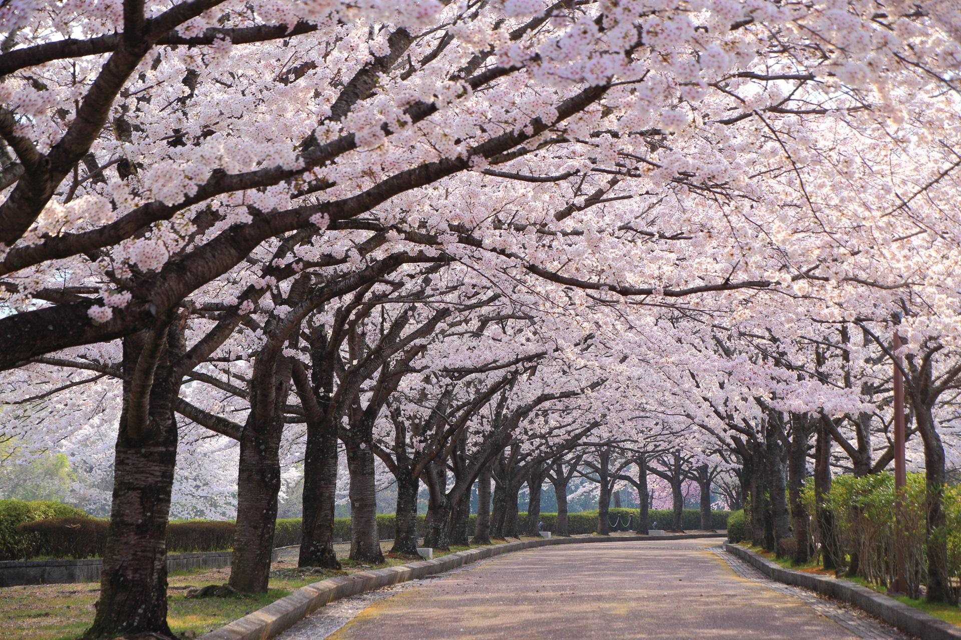 和らぎの道 桜