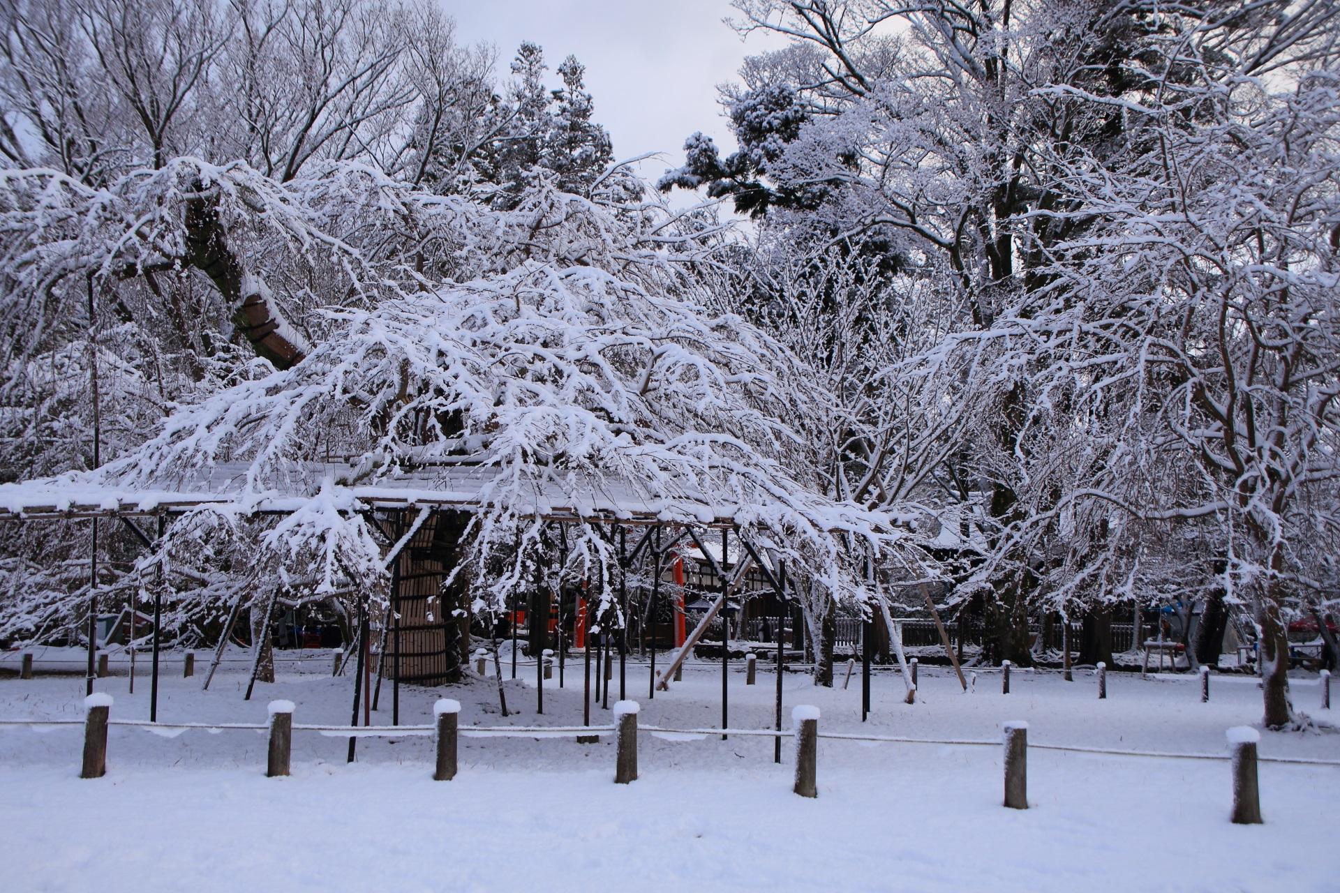 上賀茂神社のこぼれ落ちんばかりに咲き誇る雪の花