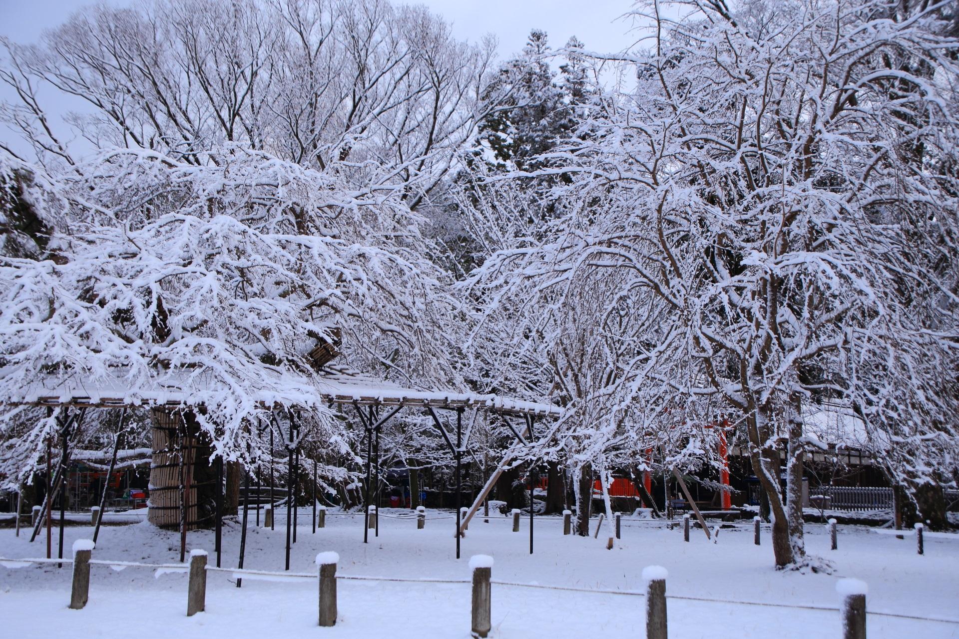 上賀茂神社の冬に咲く枝垂れ桜