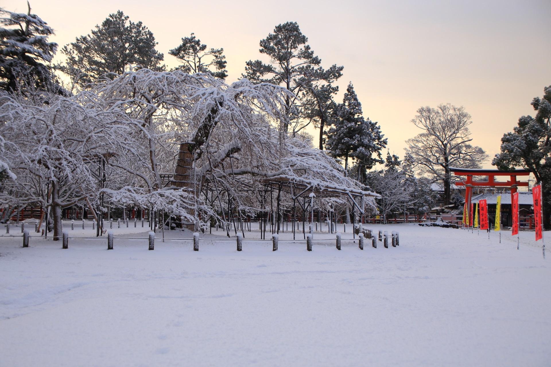 上賀茂神社の赤い鳥居と雪の白いしだれ桜