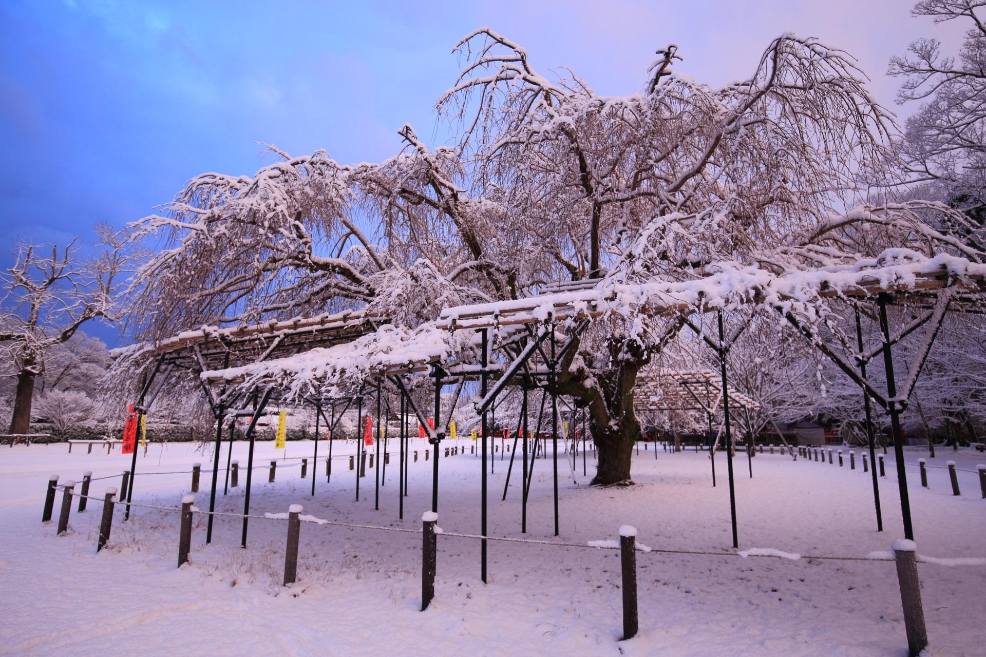 上賀茂神社の青空の下で豪快に雪の華を咲かせる斎王桜