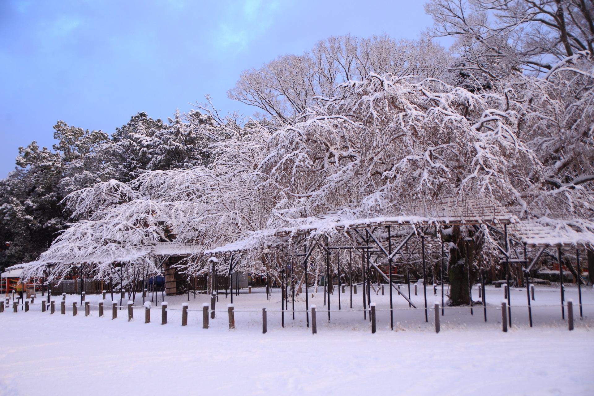斎王桜の圧巻の雪の花