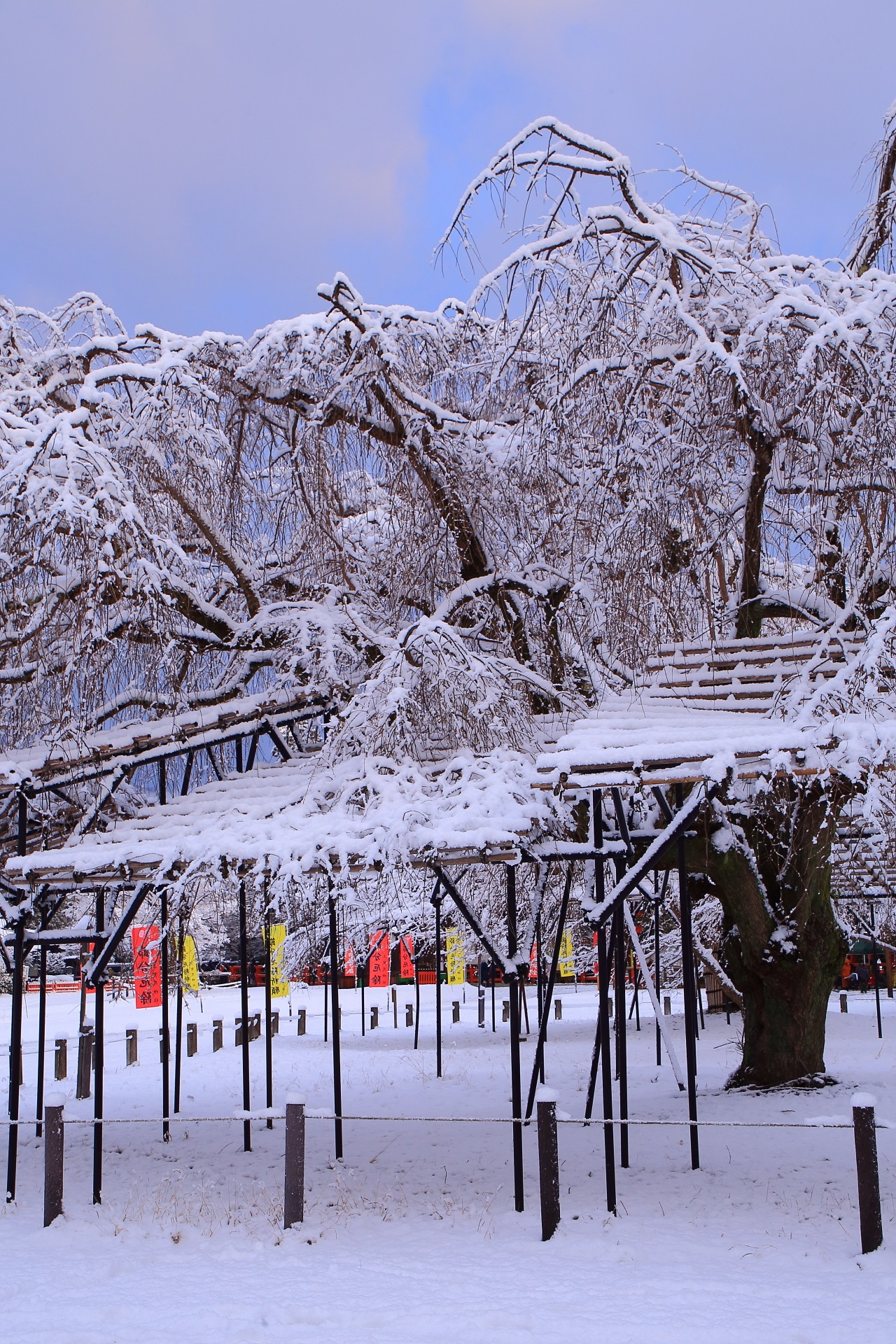 上賀茂神社の雪に染まる冬の斎王桜