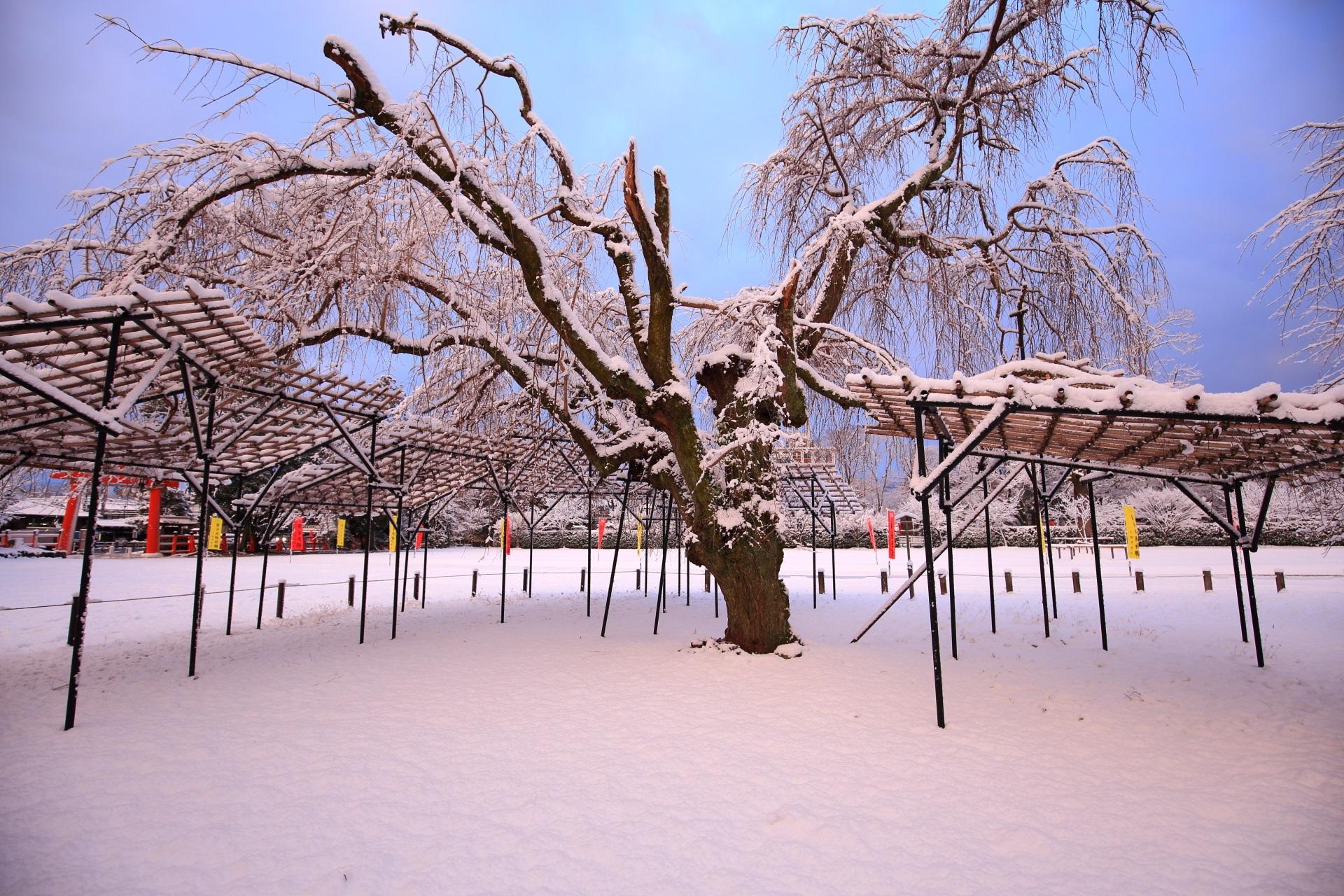 空に枝を伸ばす雪の斎王桜