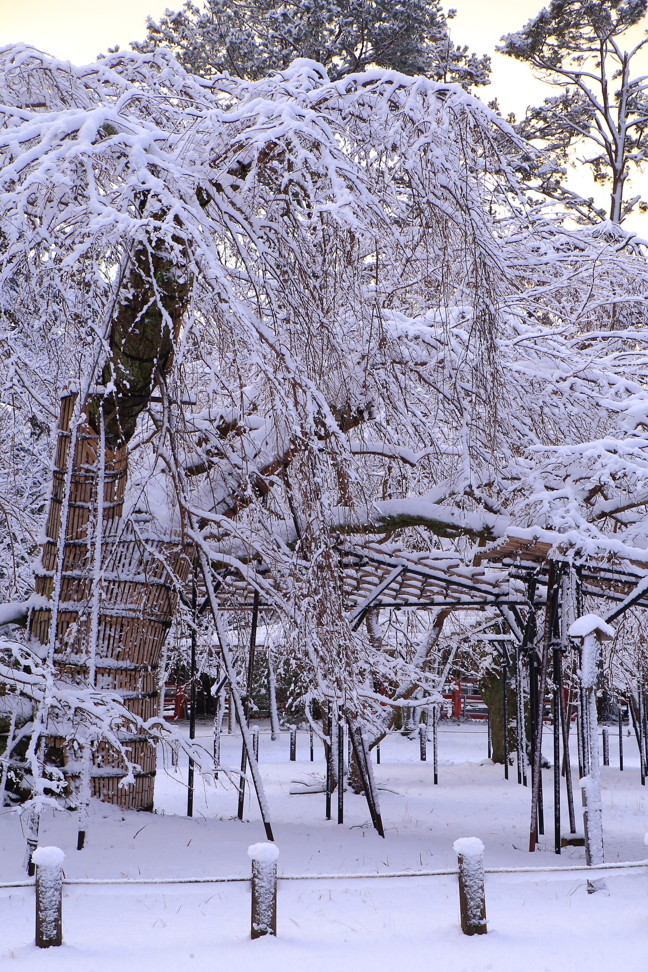 上賀茂神社の真っ白に染まった枝垂れ桜