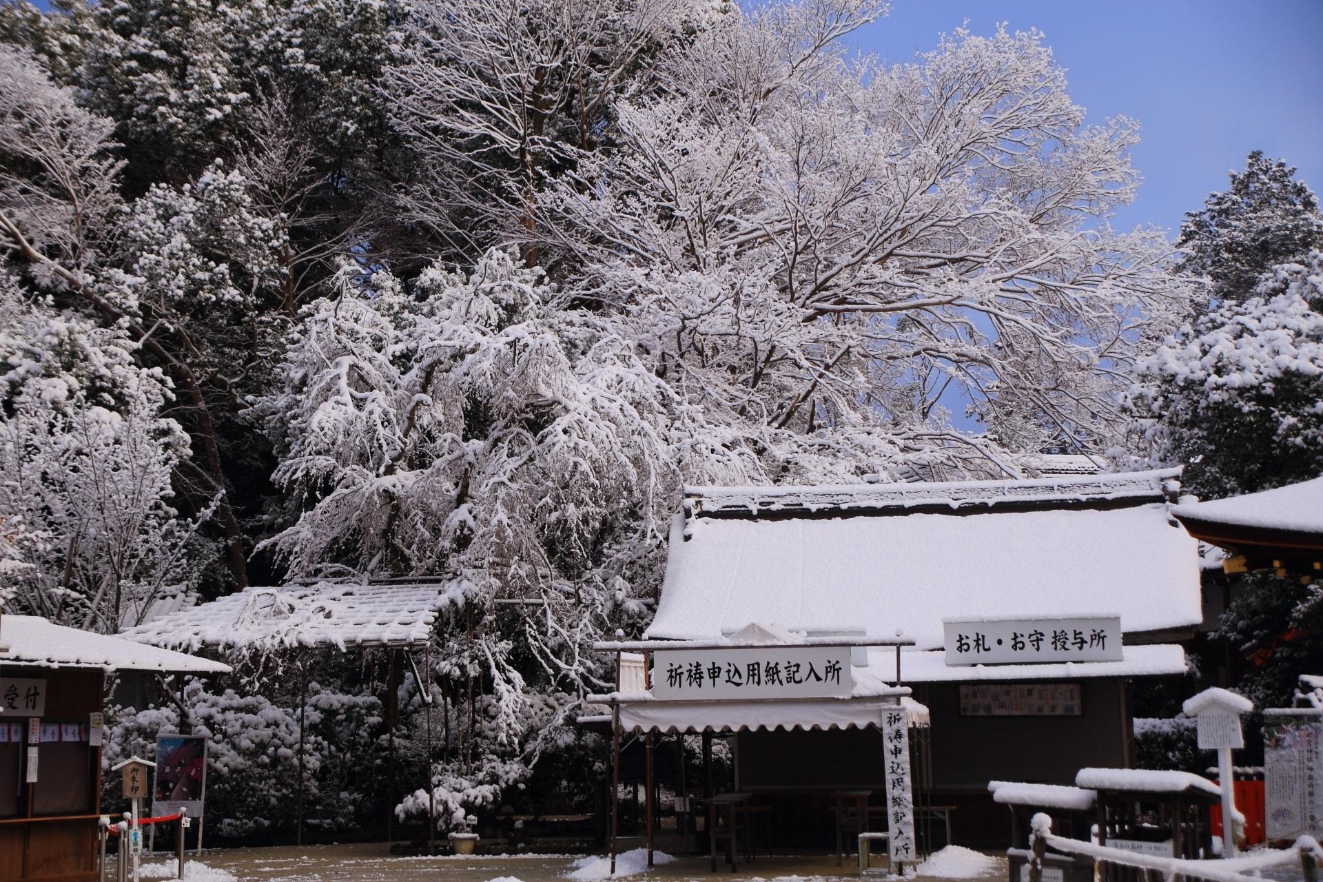 だいぶ日が昇った後の青空に映える雪のみあれ桜