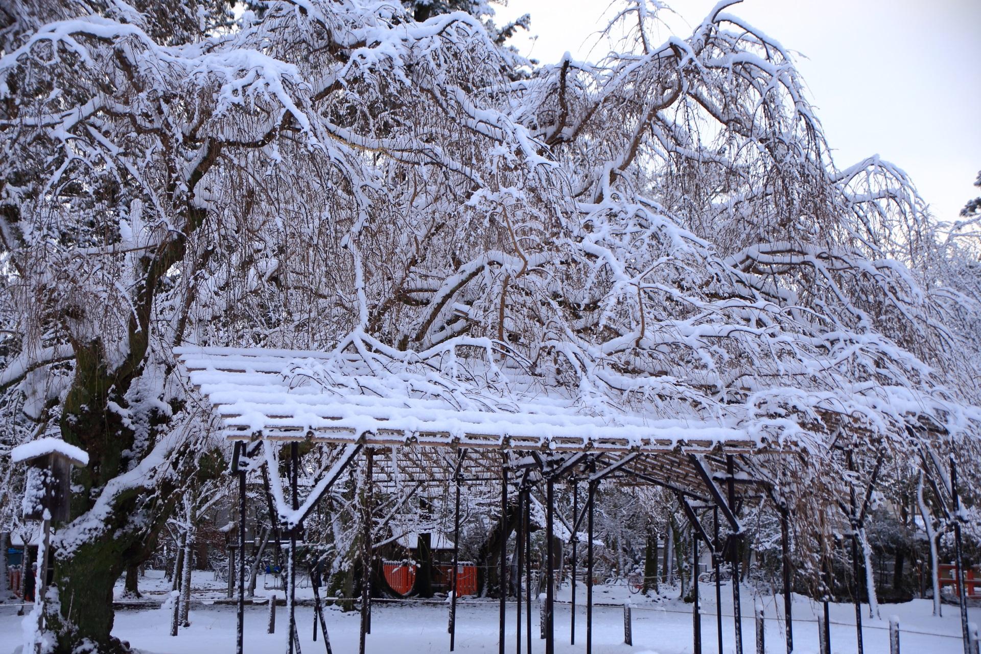 上賀茂神社のしだれ桜の降り注ぐ雪の花