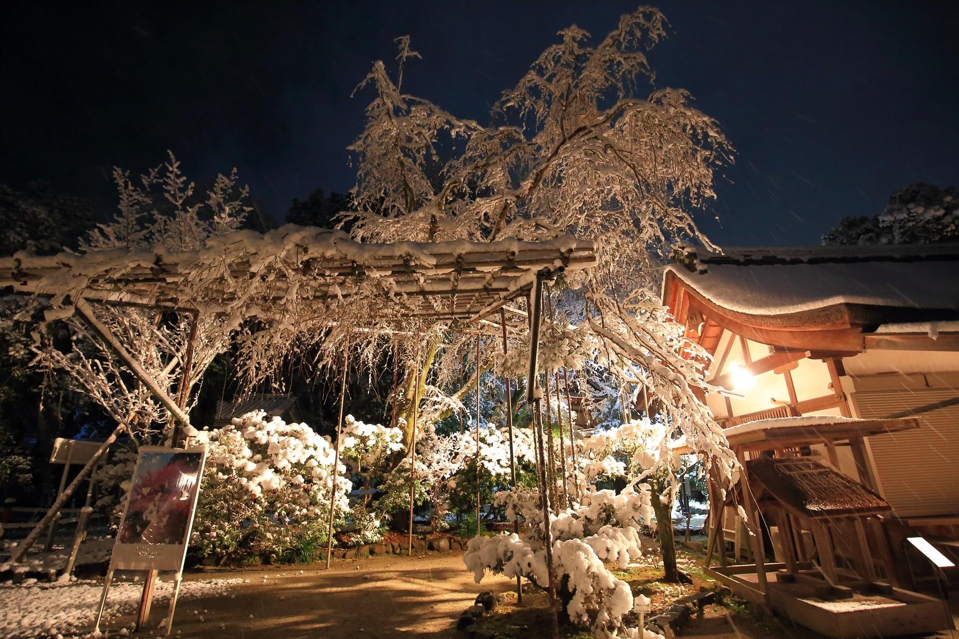 夜明け前の上賀茂神社の「みあれ桜」の雪景色
